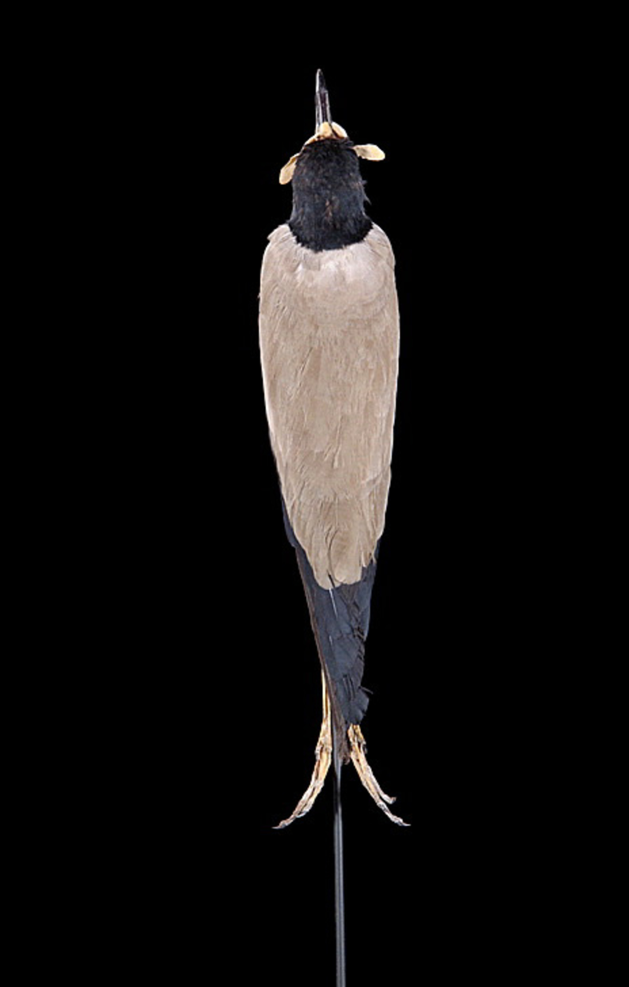 RMNH.AVES.110105 | Vanellus macropterus Wagler, 1827