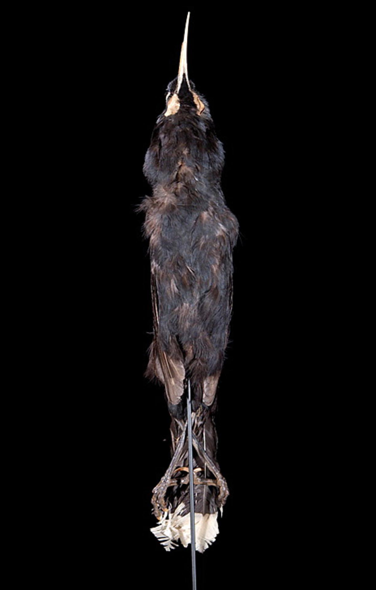 RMNH.AVES.110107 | Heteralocha acutirostris (Gould, 1837)