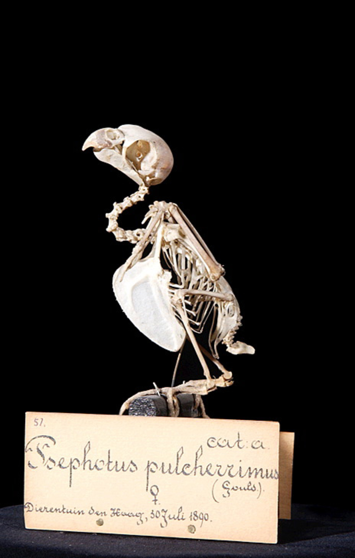 RMNH.AVES.110113   Psephotus pulcherrimus (Gould, 1845)