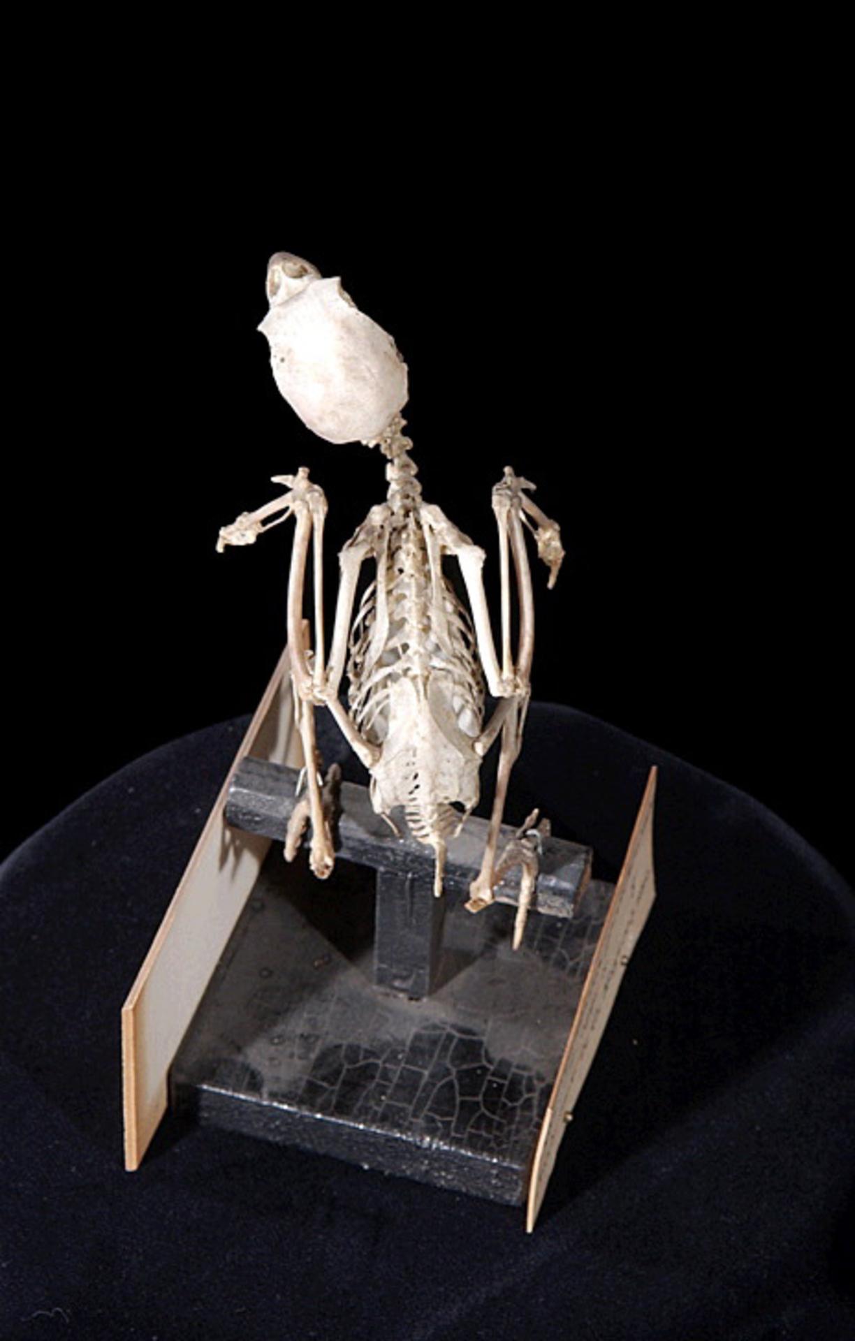 RMNH.AVES.110113 | Psephotus pulcherrimus (Gould, 1845)