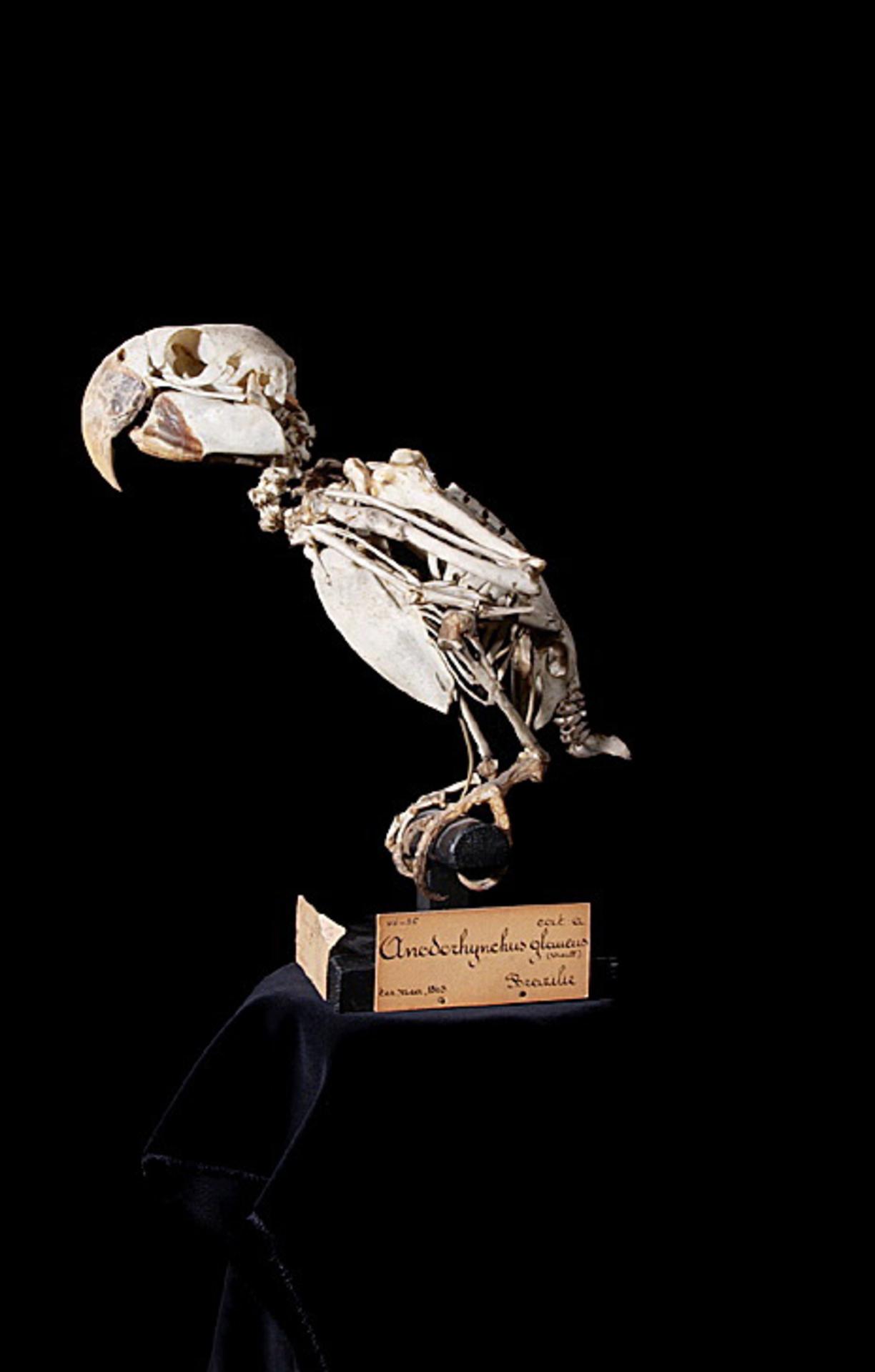 RMNH.AVES.110114 | Anodorhynchus glaucus (Vieillot, 1816)