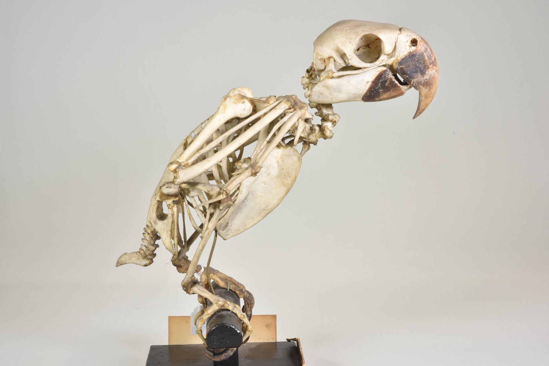 RMNH.AVES.110114   Anodorhynchus glaucus (Vieillot, 1816)