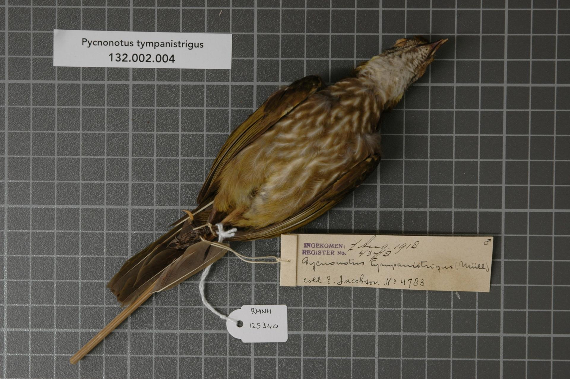 RMNH.AVES.125340 | Pycnonotus tympanistrigus (S. Muller, 1835)
