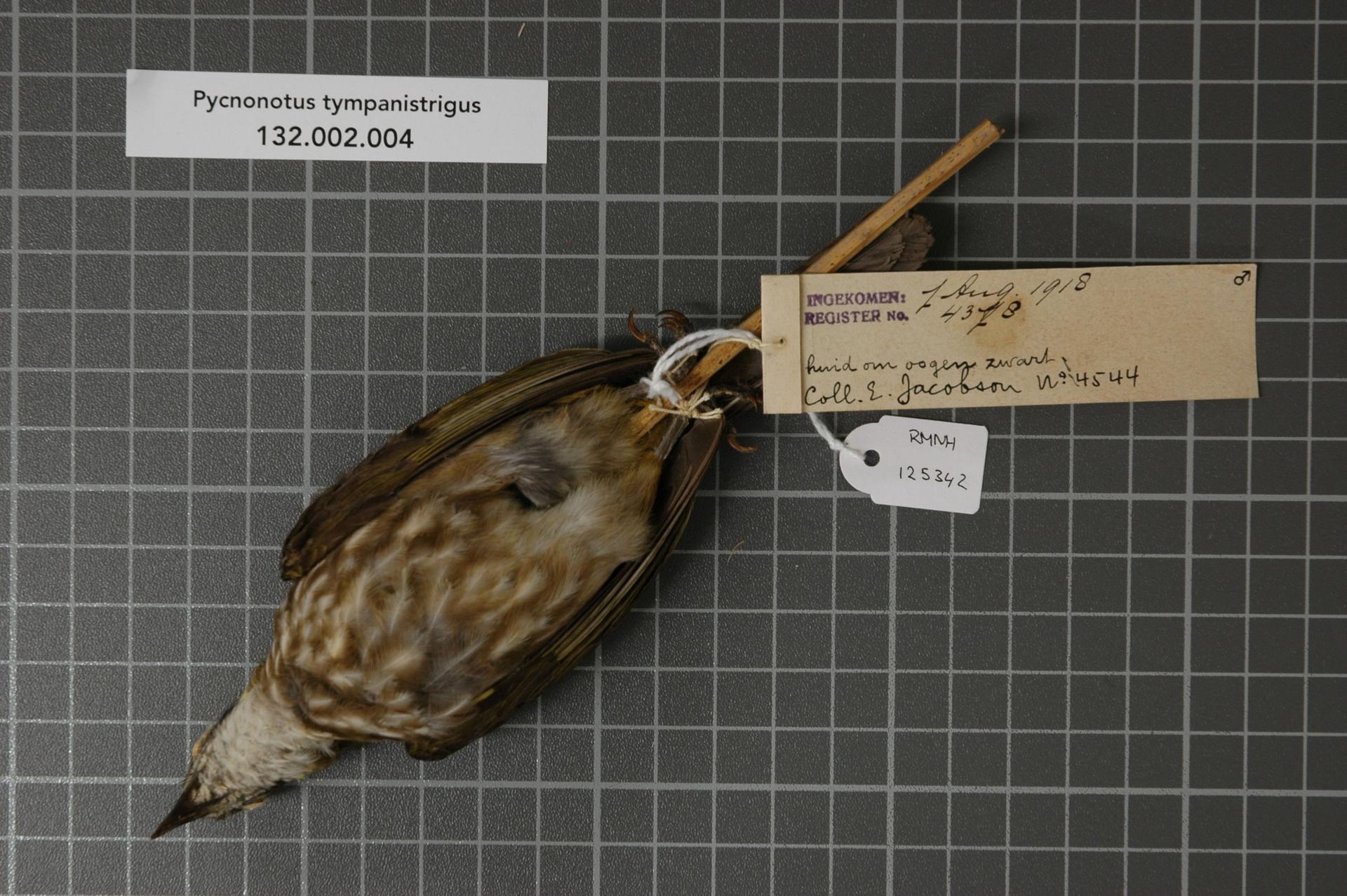 RMNH.AVES.125342   Pycnonotus tympanistrigus (S. Muller, 1835)