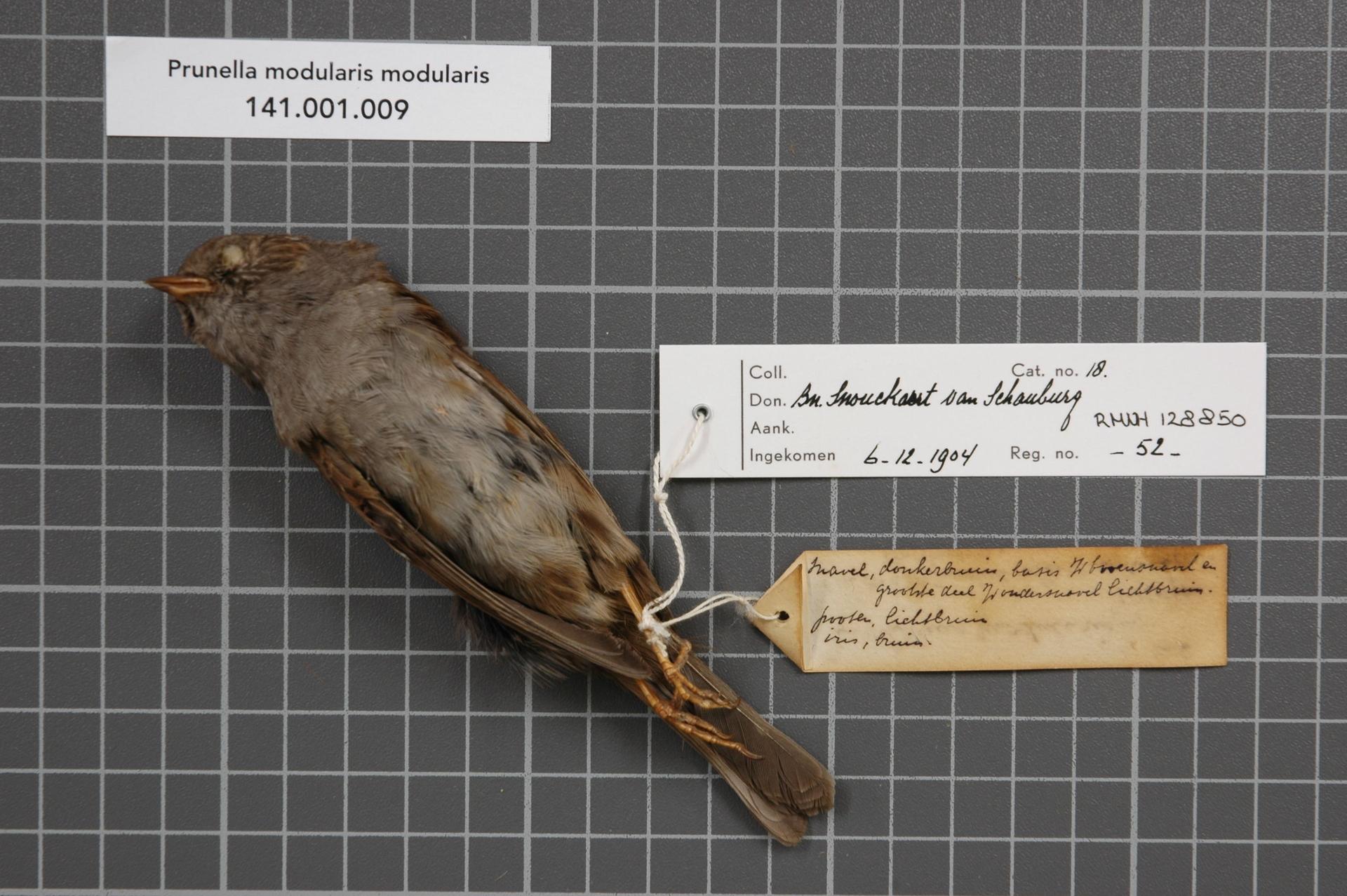 RMNH.AVES.128850   Prunella modularis modularis (Linnaeus, 1758)