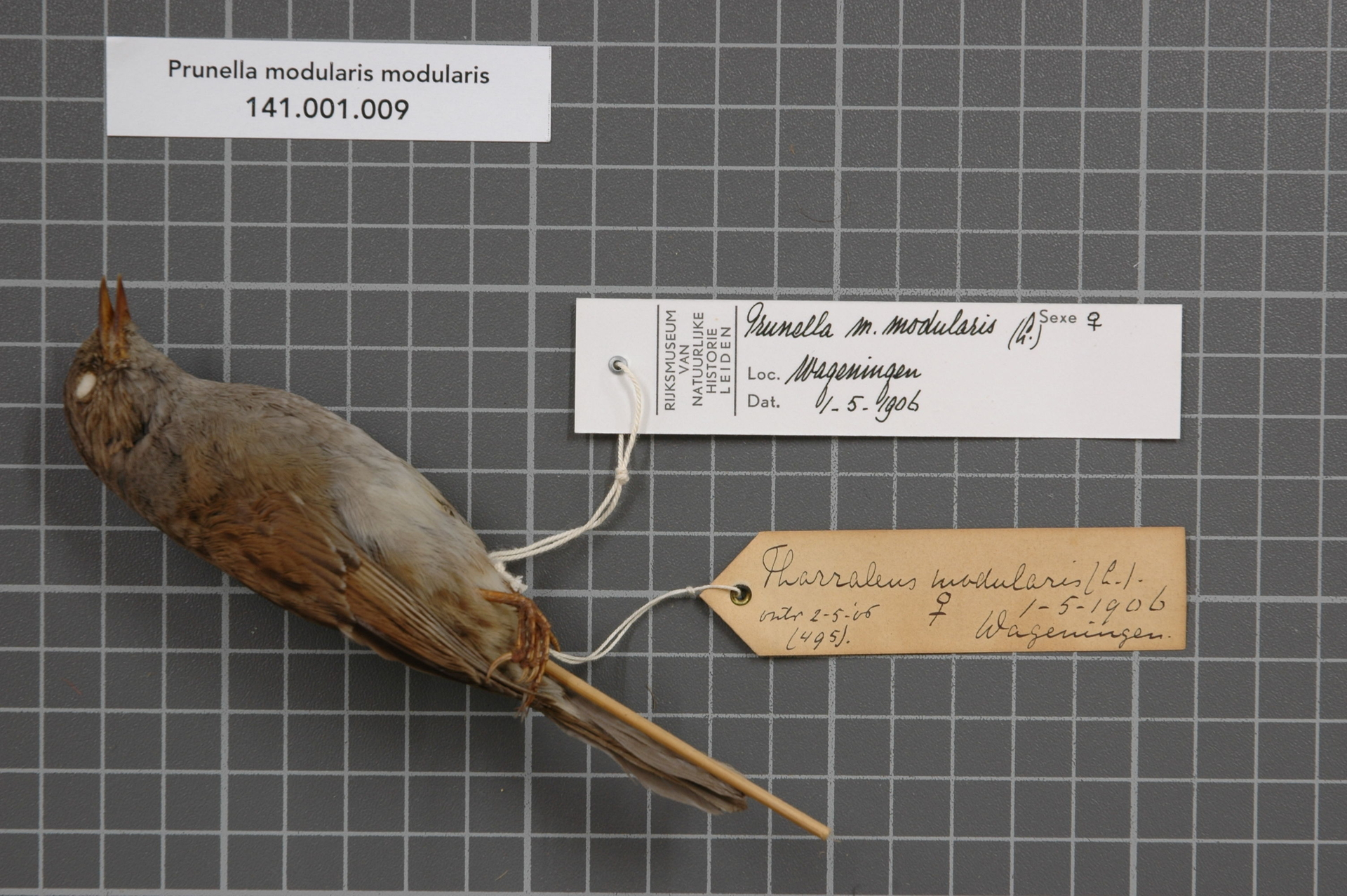 RMNH.AVES.128854   Prunella modularis modularis (Linnaeus, 1758)