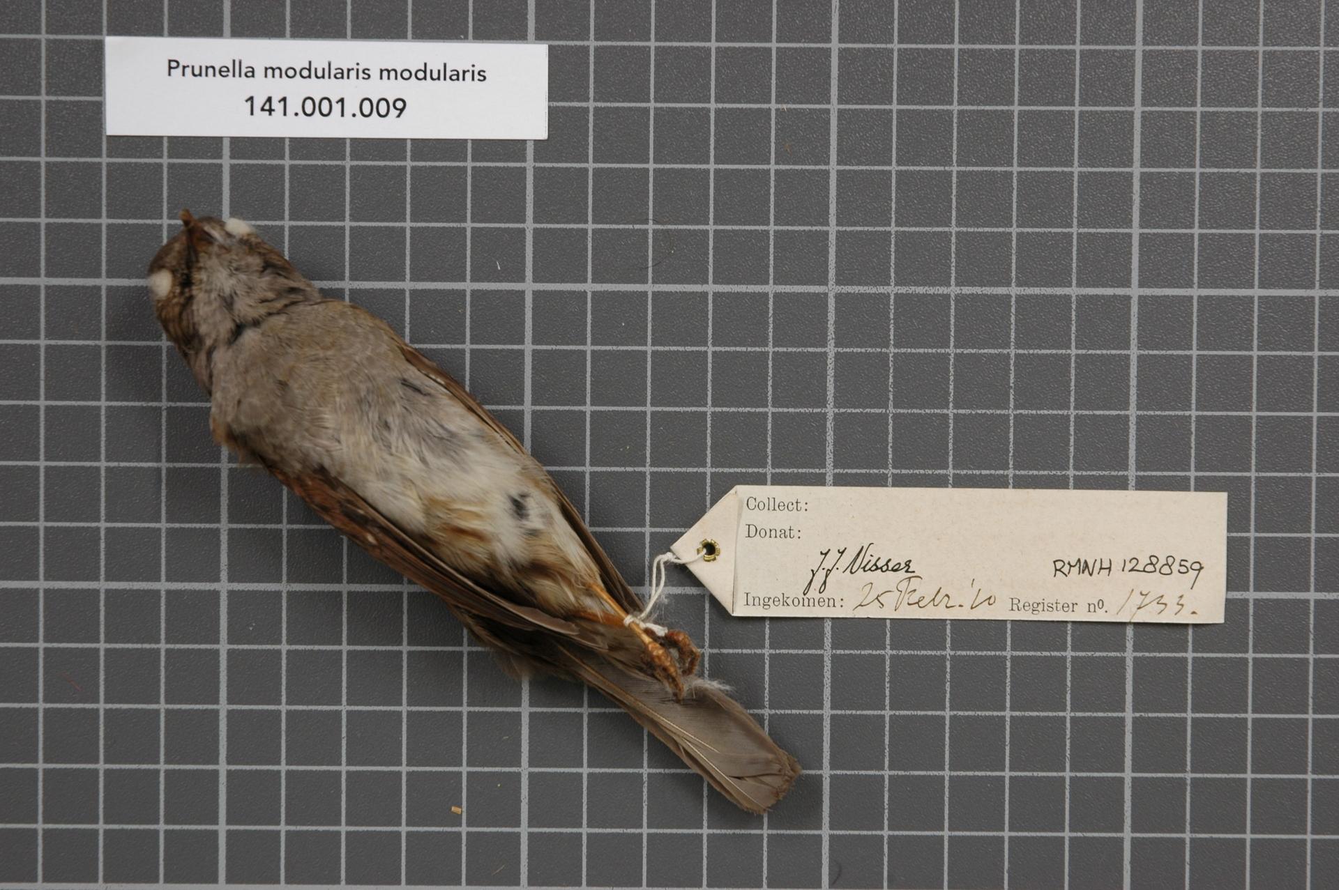RMNH.AVES.128859 | Prunella modularis modularis (Linnaeus, 1758)