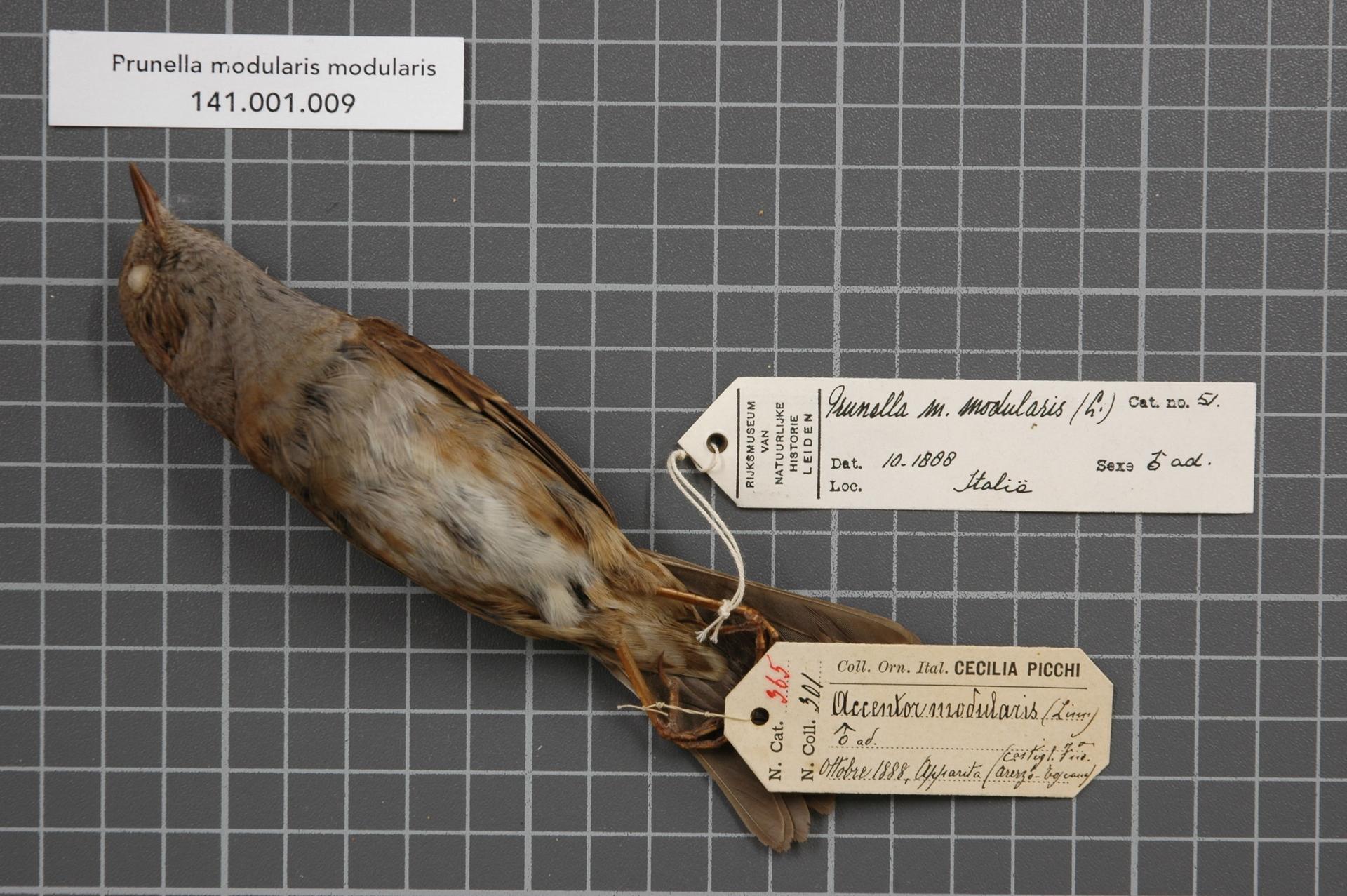 RMNH.AVES.128875 | Prunella modularis modularis (Linnaeus, 1758)