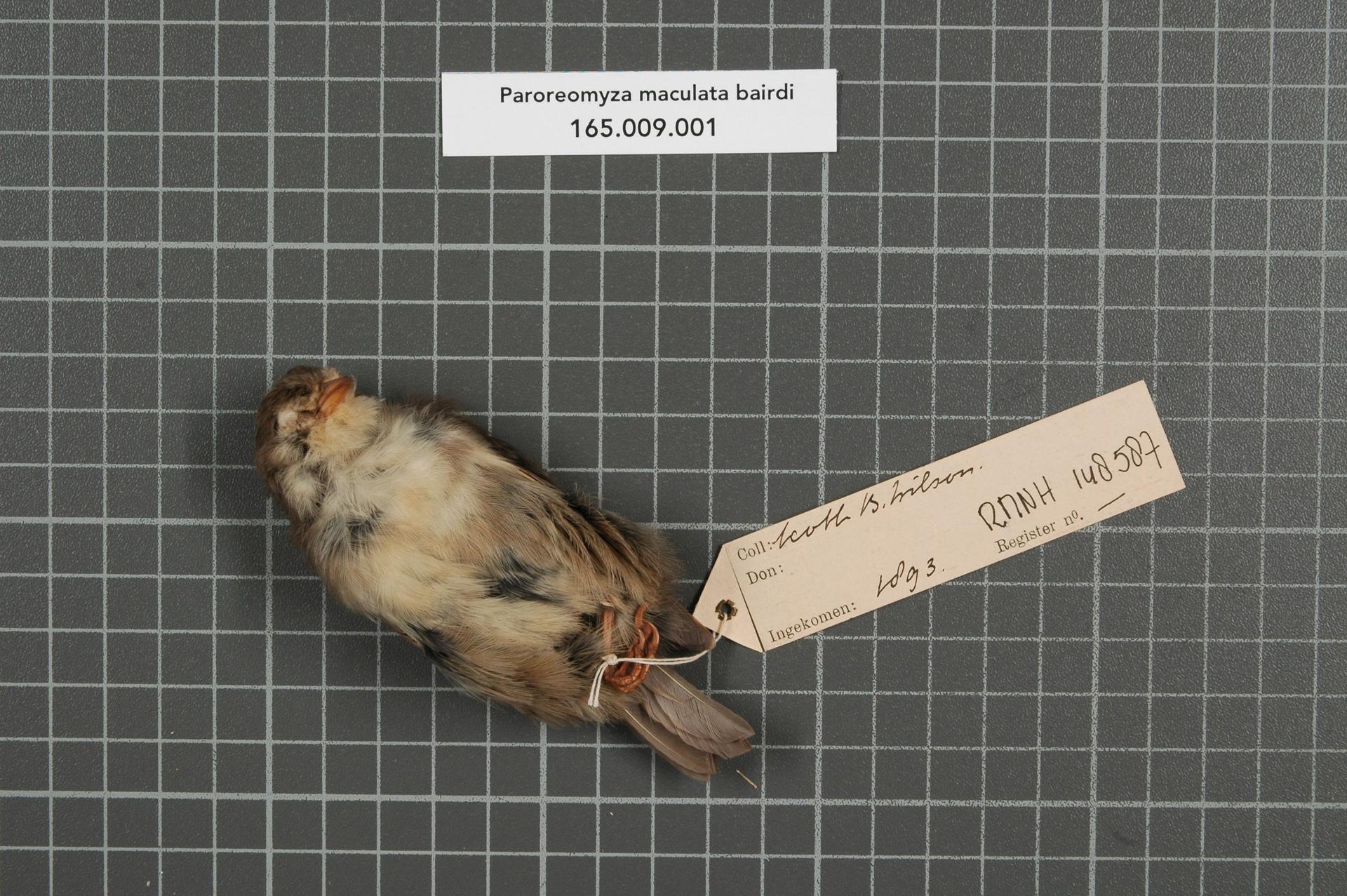 RMNH.AVES.148587 | Paroreomyza maculata bairdi Stejneger, 1887