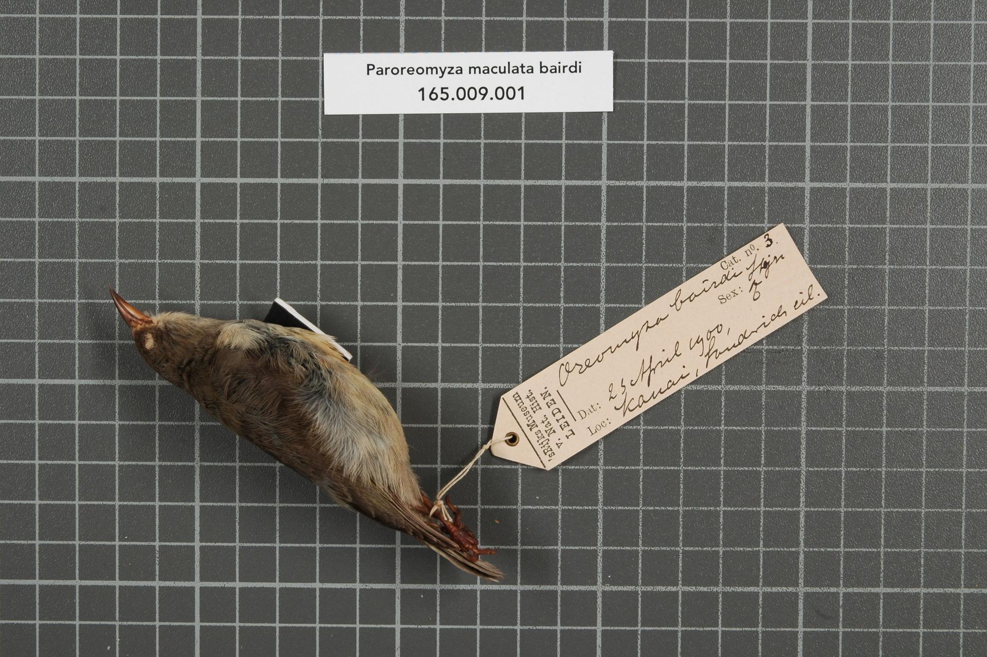 RMNH.AVES.148588 | Paroreomyza maculata bairdi Stejneger, 1887