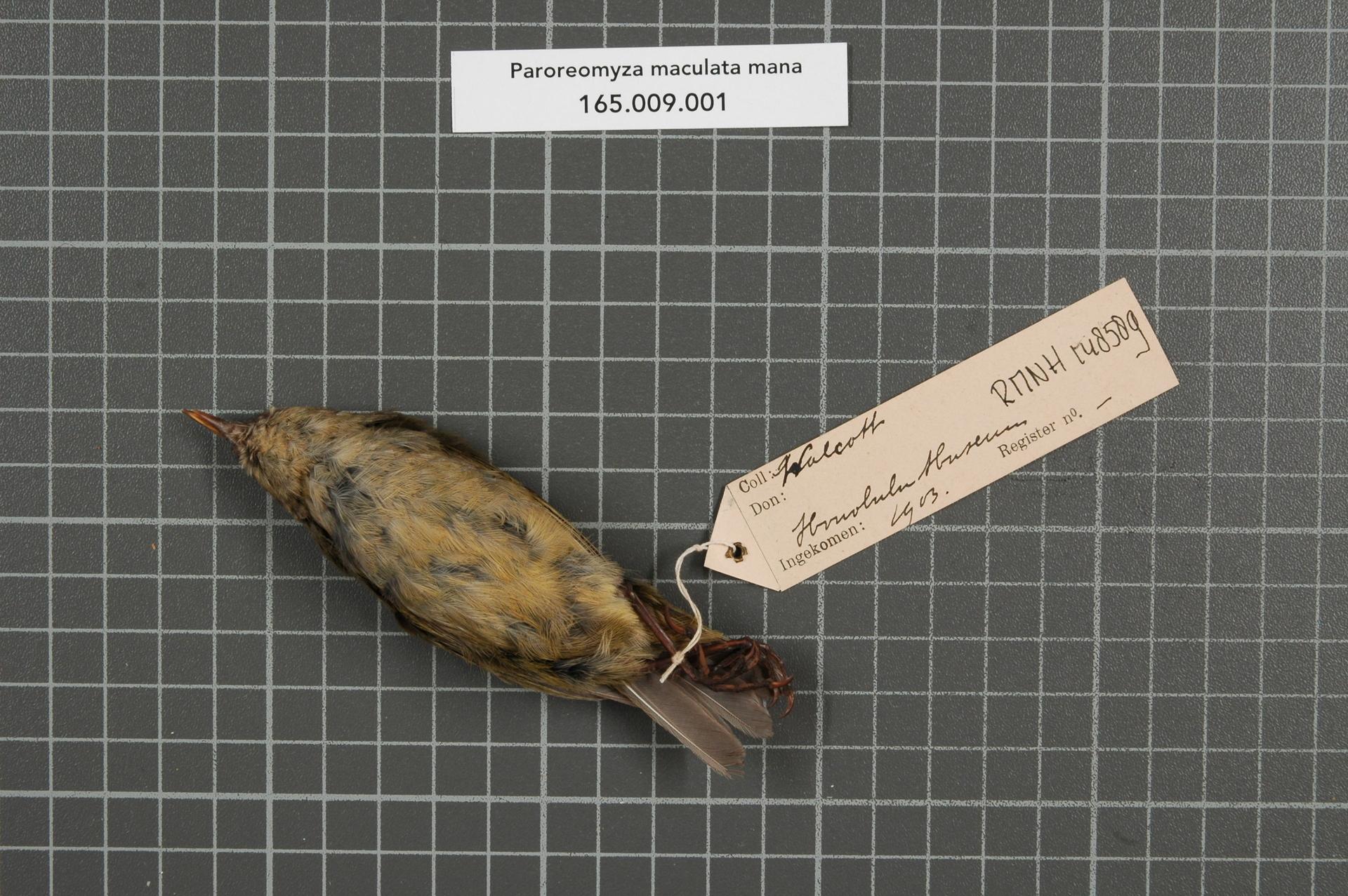 RMNH.AVES.148589 | Paroreomyza maculata mana Wilson, 1891