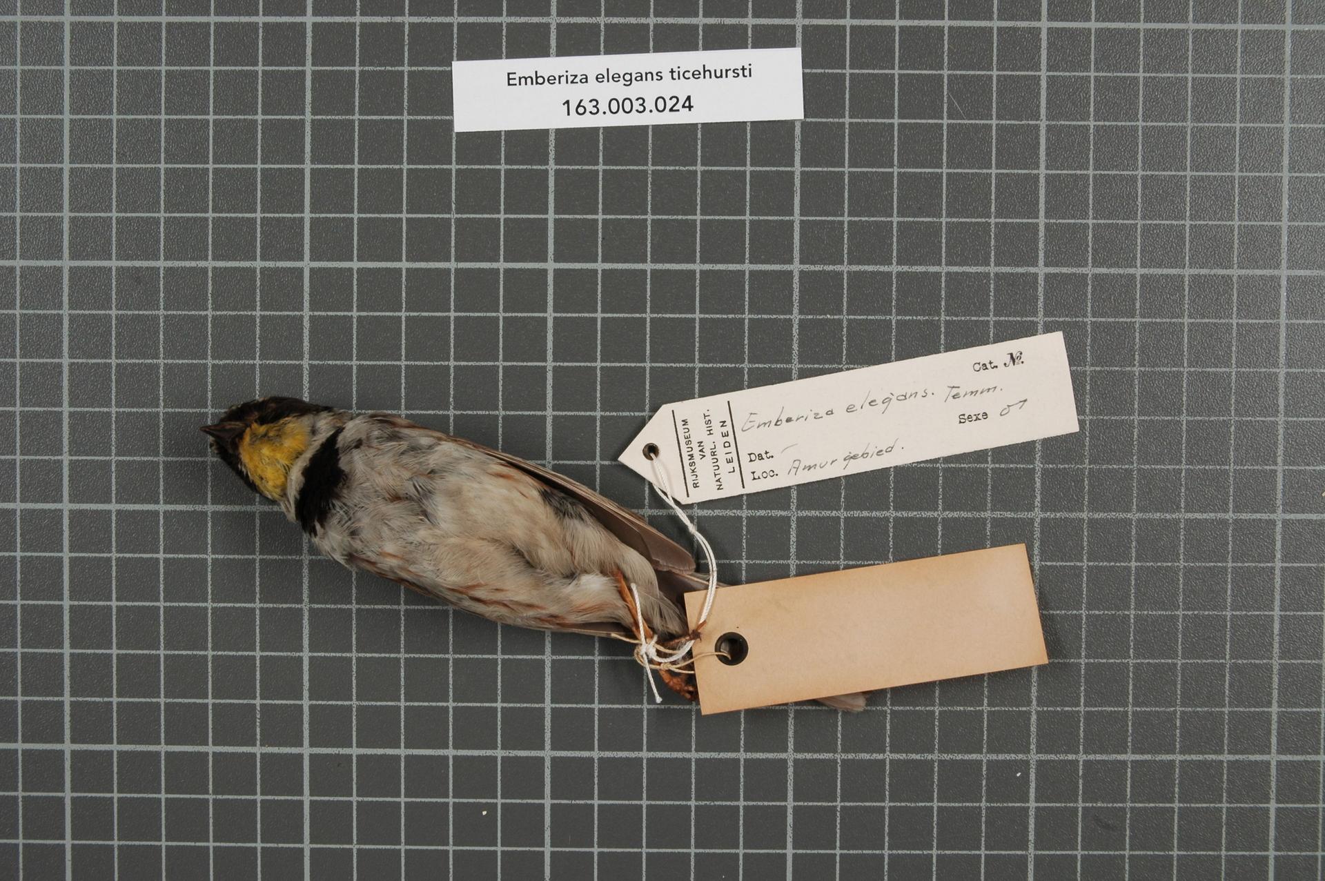 RMNH.AVES.149098   Emberiza elegans ticehursti Sushkin, 1925