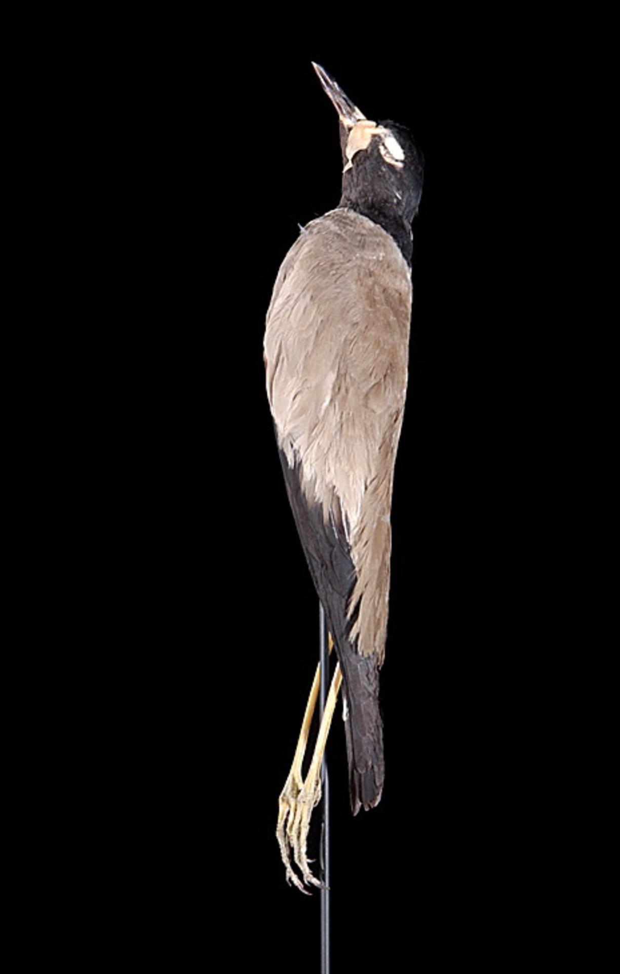 RMNH.AVES.22993 | Vanellus macropterus Wagler, 1827