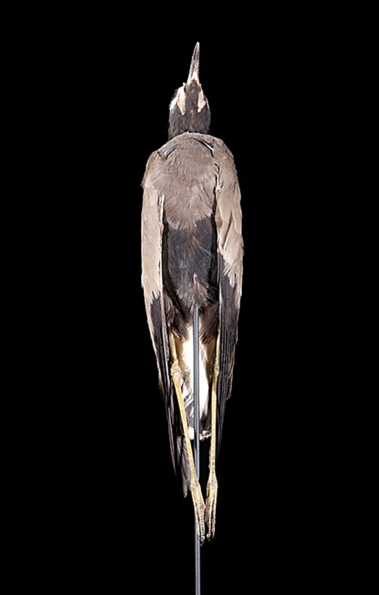 RMNH.AVES.22993   Vanellus macropterus Wagler, 1827