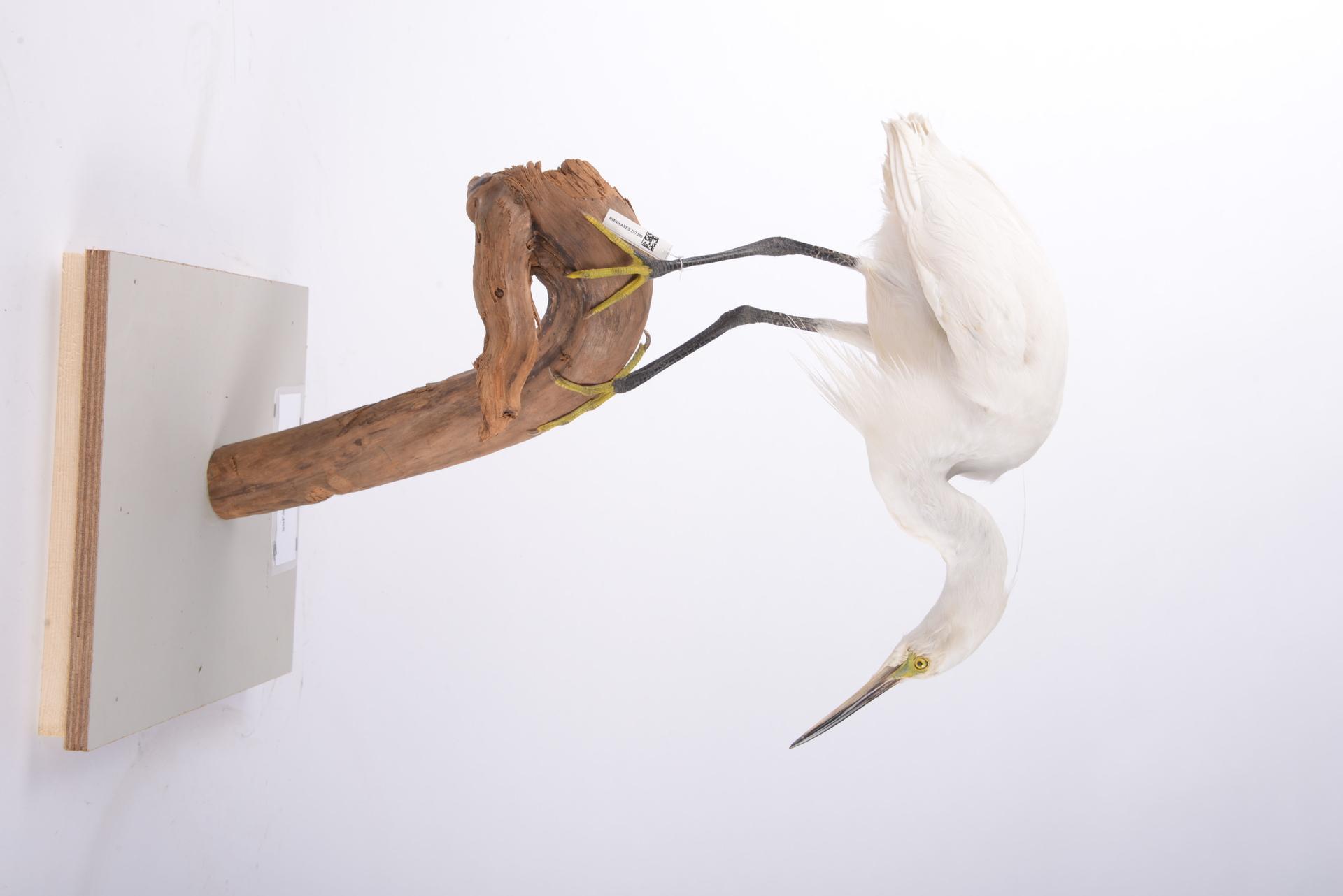 RMNH.AVES.257393 | Egretta garzetta (Linnaeus, 1766)