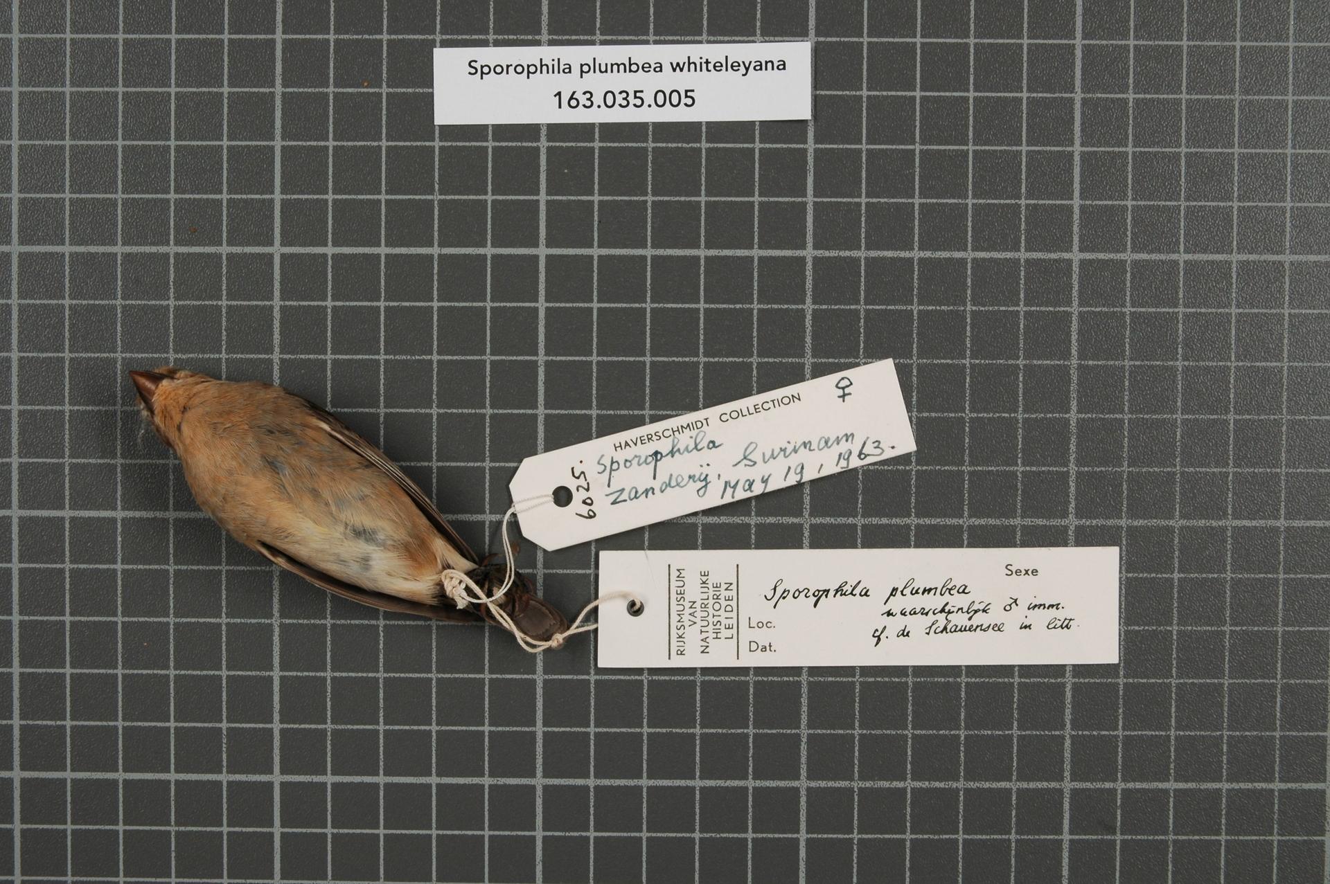 RMNH.AVES.34809   Sporophila plumbea whiteleyana (Sharpe, 1888)