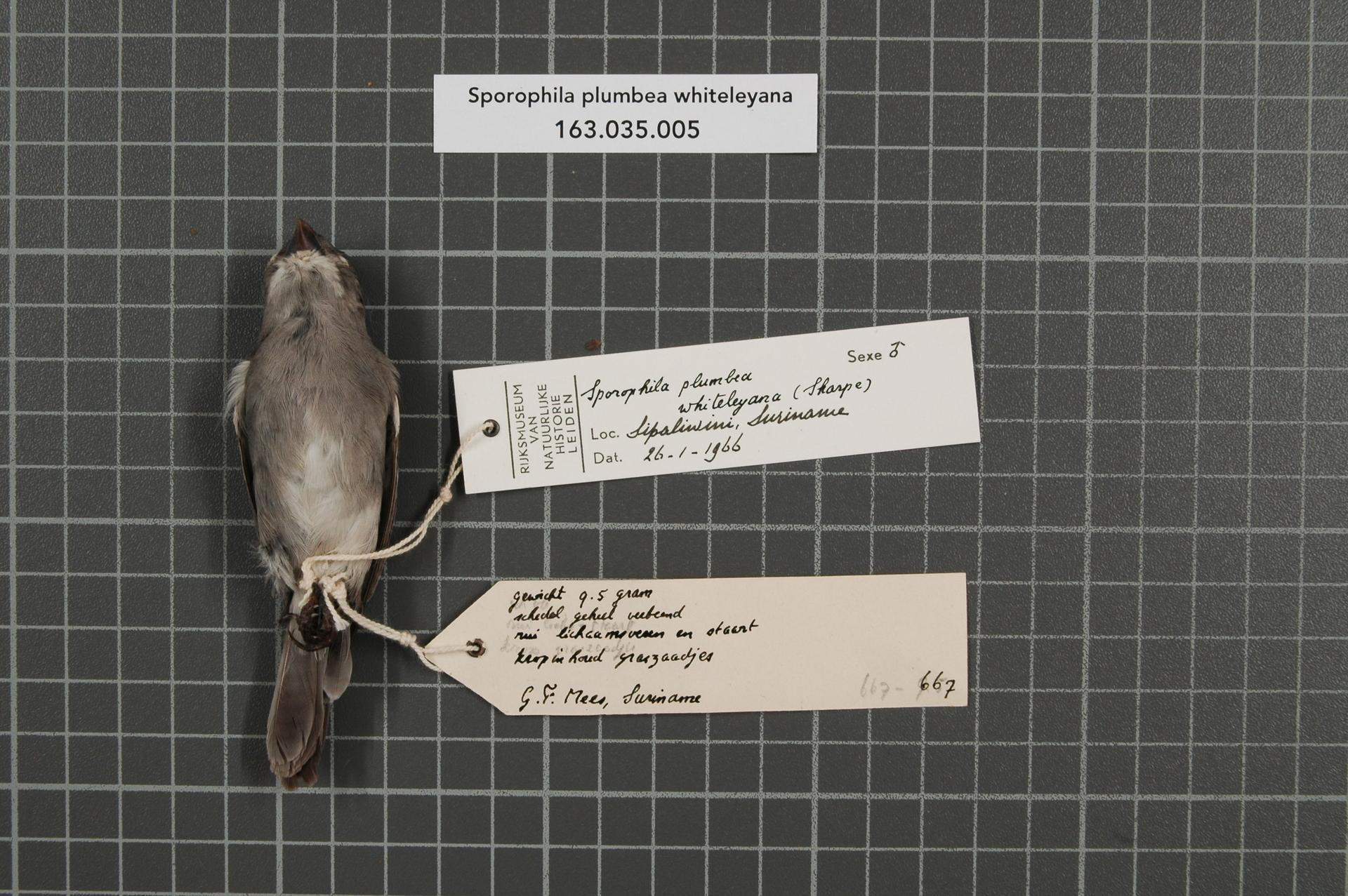 RMNH.AVES.39211   Sporophila plumbea whiteleyana (Sharpe, 1888)