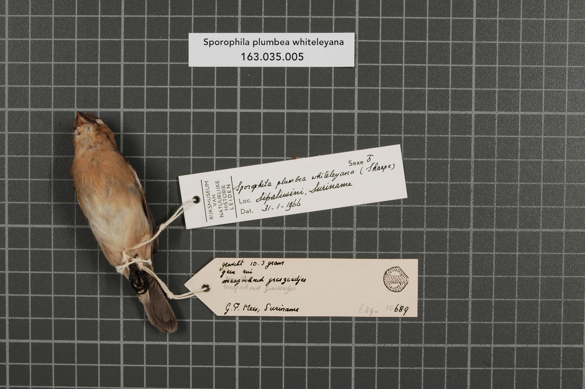 RMNH.AVES.39226 | Sporophila plumbea whiteleyana (Sharpe, 1888)