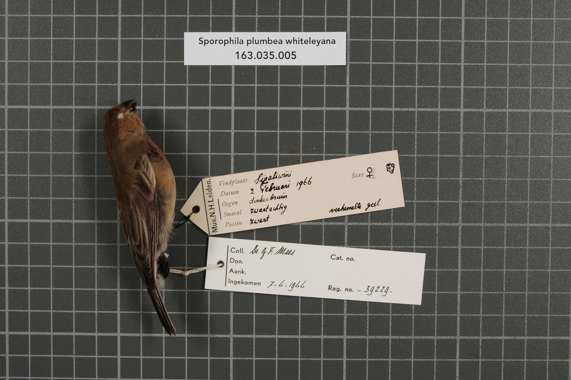 RMNH.AVES.39229 | Sporophila plumbea whiteleyana (Sharpe, 1888)