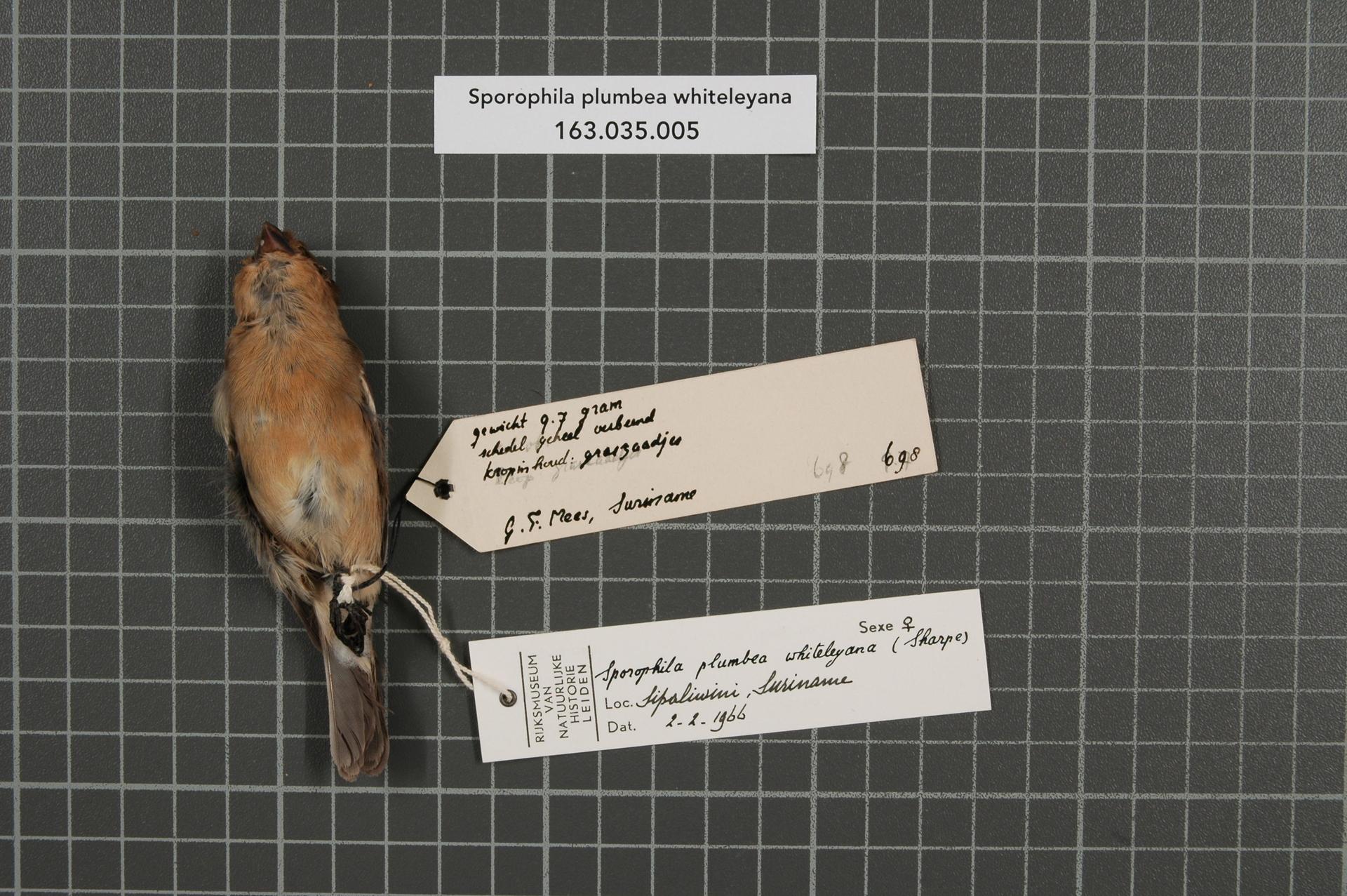 RMNH.AVES.39229   Sporophila plumbea whiteleyana (Sharpe, 1888)