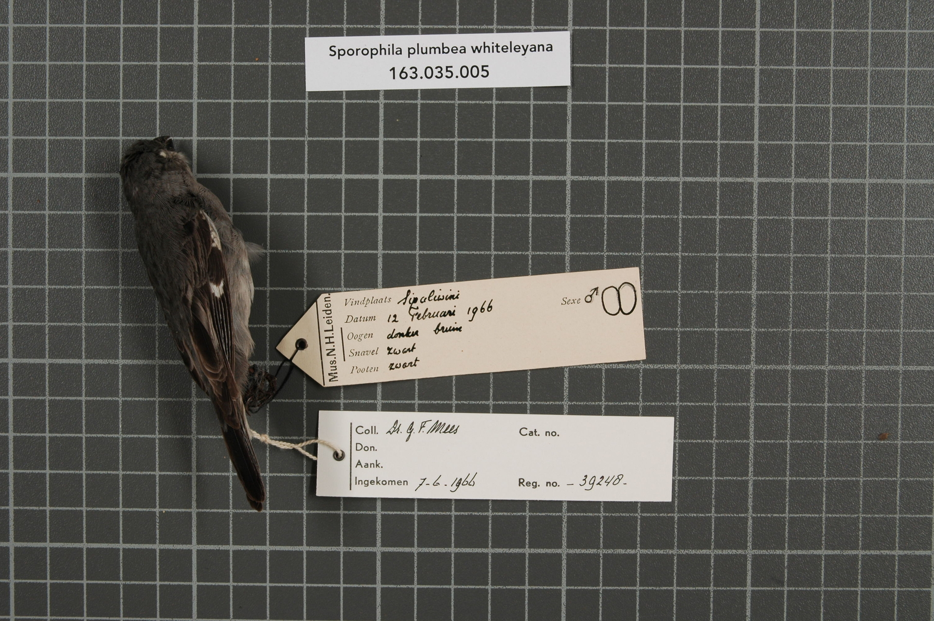 RMNH.AVES.39248 | Sporophila plumbea whiteleyana (Sharpe, 1888)