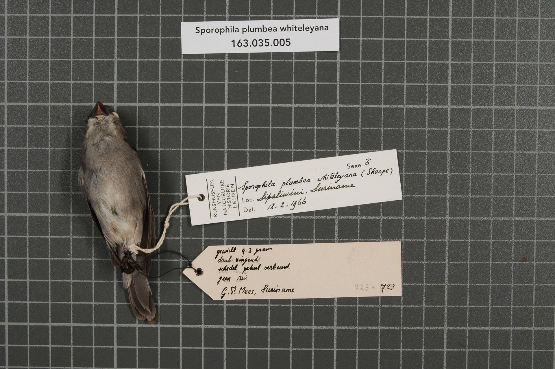 RMNH.AVES.39248   Sporophila plumbea whiteleyana (Sharpe, 1888)