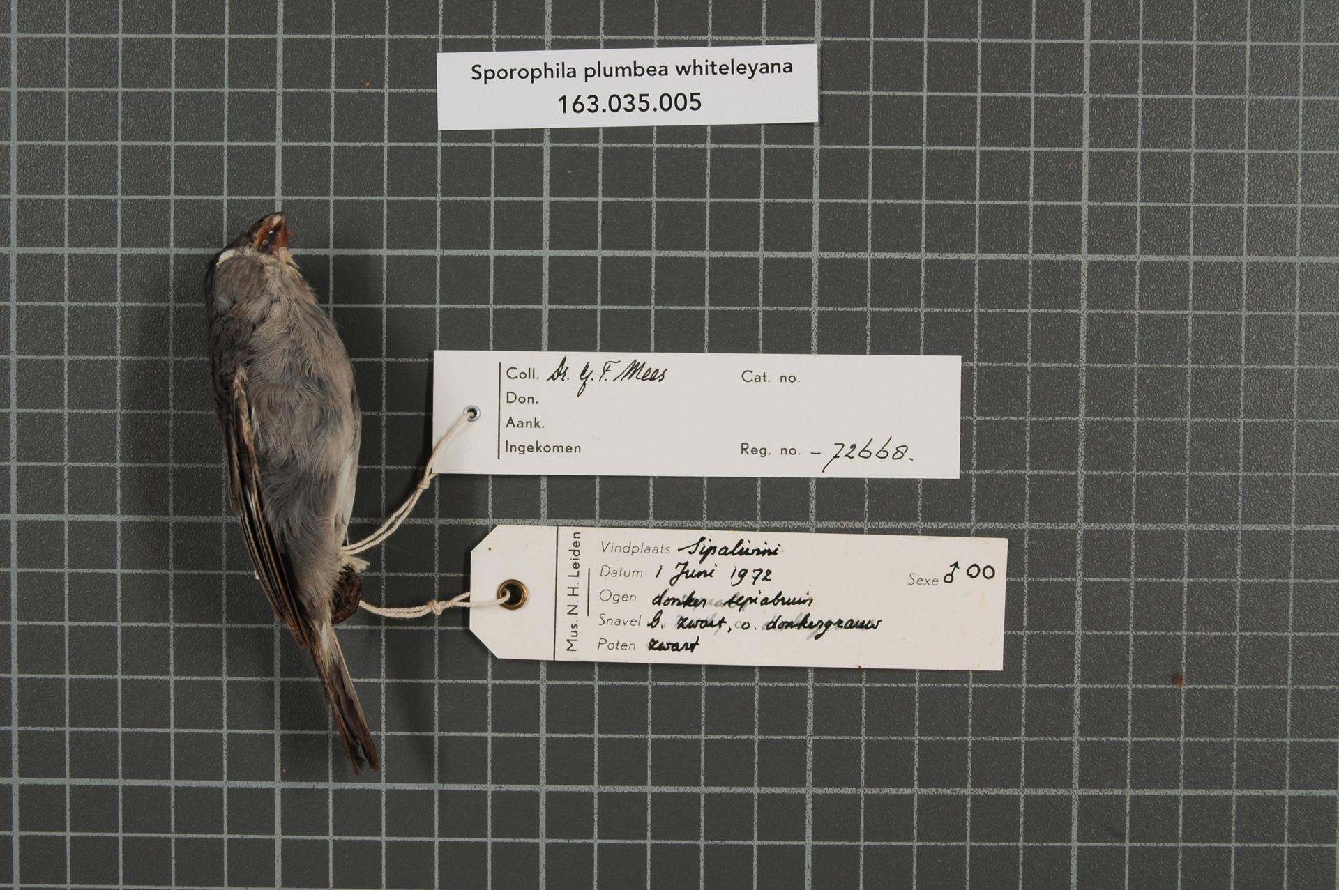 RMNH.AVES.72668 | Sporophila plumbea whiteleyana (Sharpe, 1888)