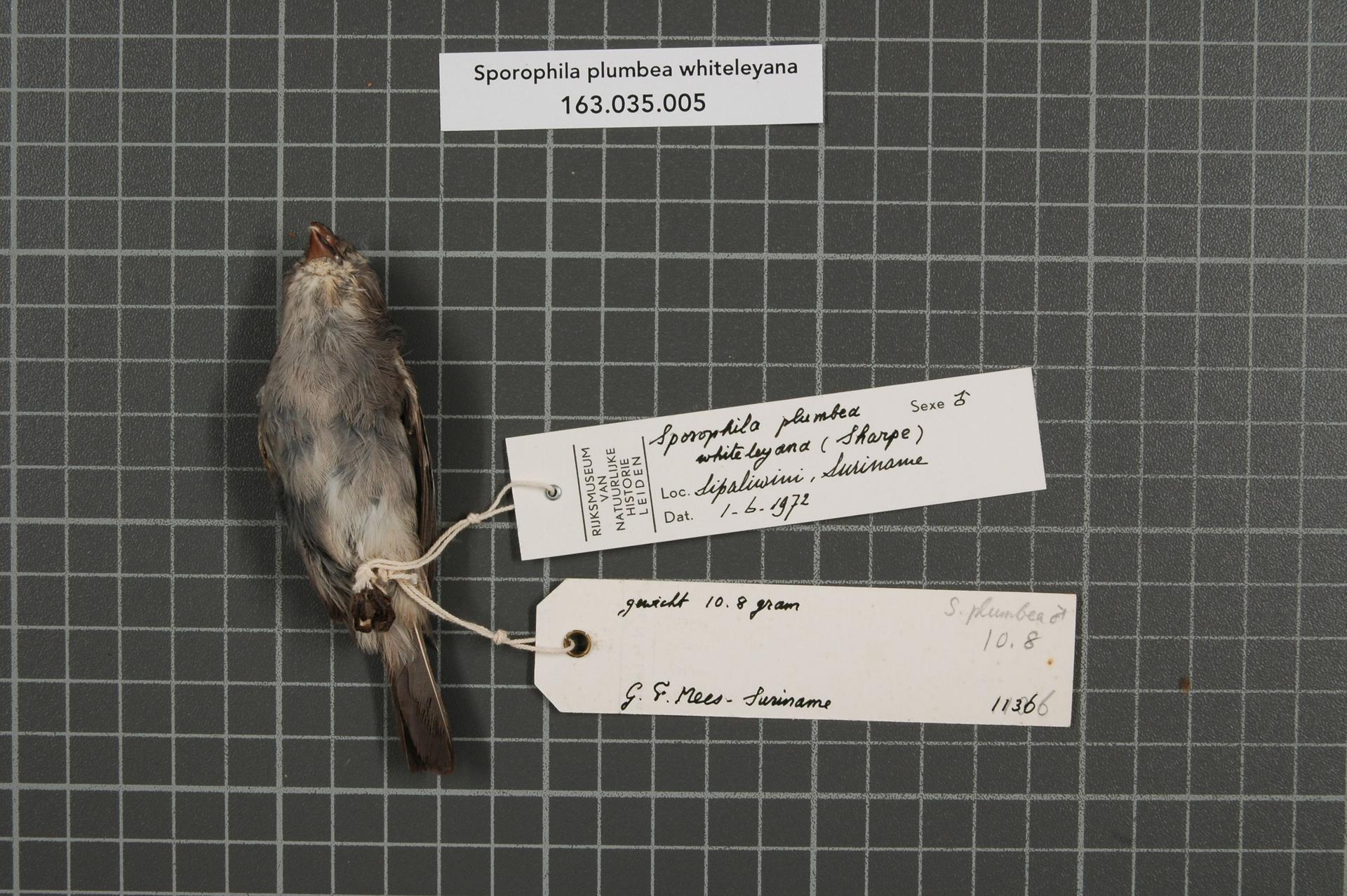 RMNH.AVES.72668   Sporophila plumbea whiteleyana (Sharpe, 1888)