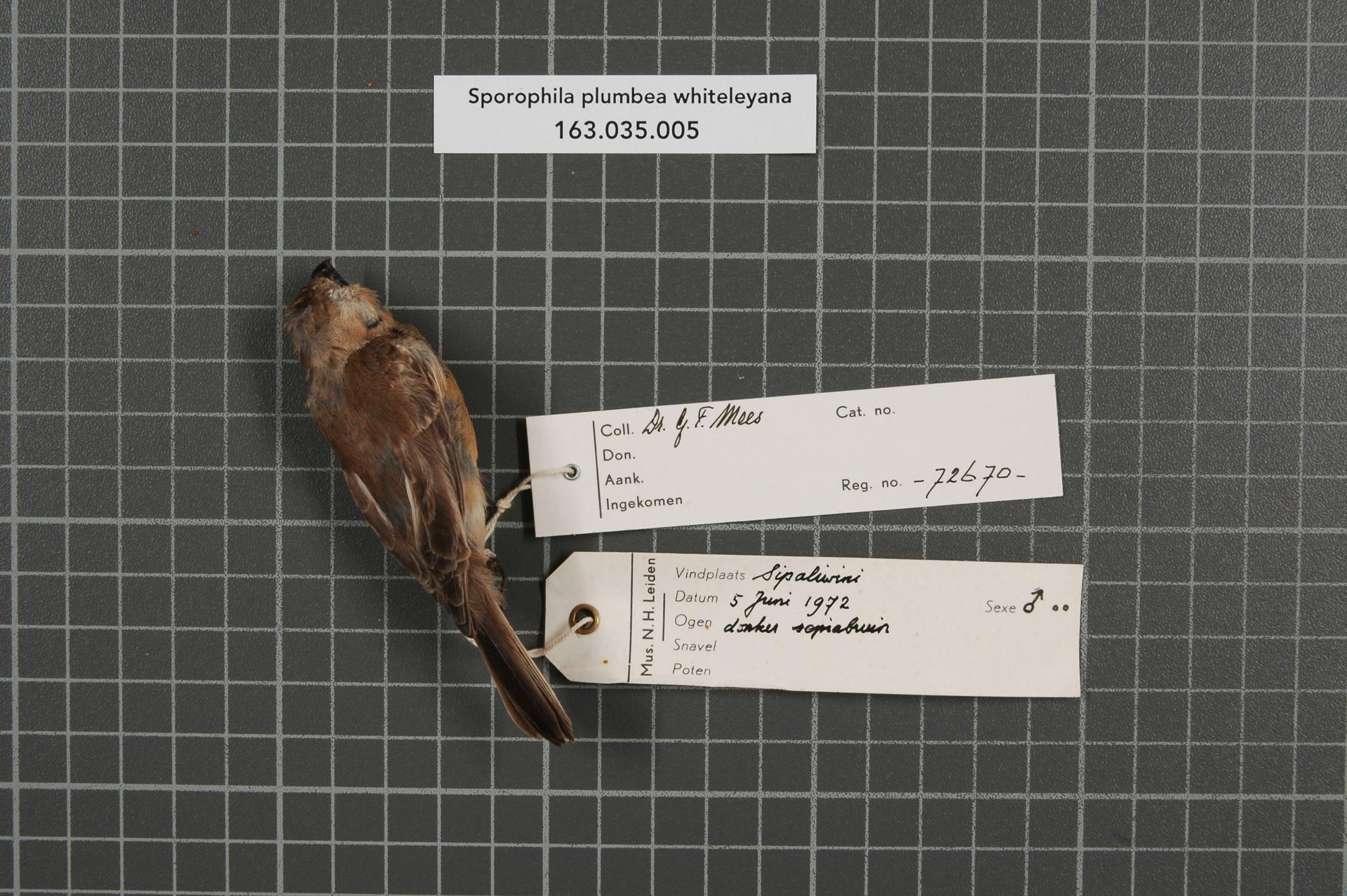 RMNH.AVES.72670 | Sporophila plumbea whiteleyana (Sharpe, 1888)