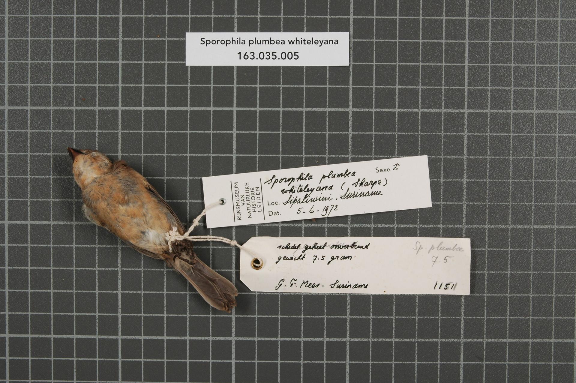 RMNH.AVES.72670   Sporophila plumbea whiteleyana (Sharpe, 1888)