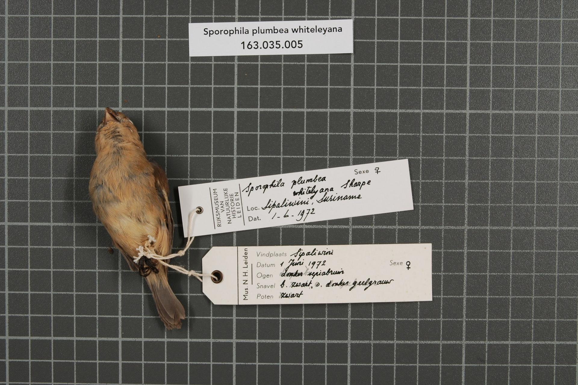 RMNH.AVES.72754   Sporophila plumbea whiteleyana (Sharpe, 1888)