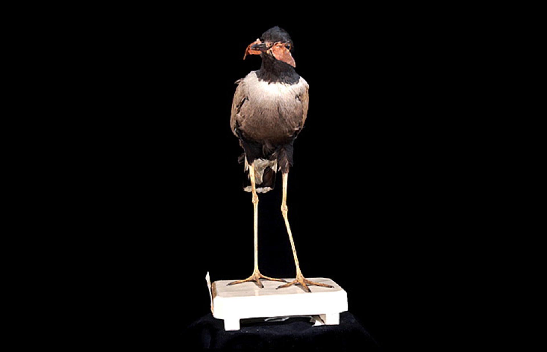 RMNH.AVES.87519 | Rogibyx tricolor Horsfield, 1821