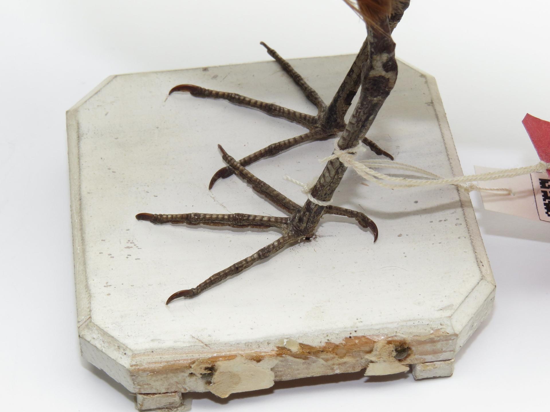 RMNH.AVES.87556 | Prosobonia leucoptera (Gmelin, 1789)