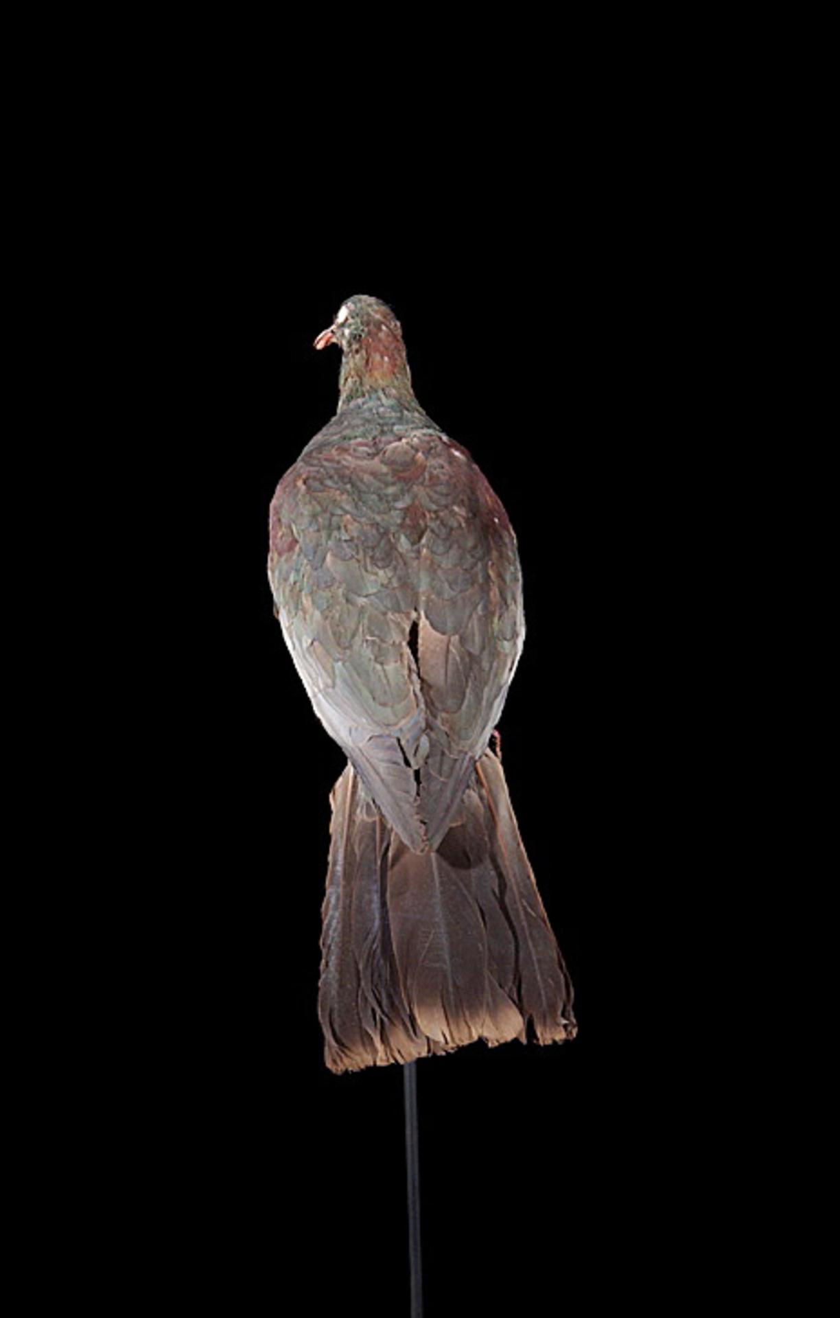RMNH.AVES.87749 | Hemiphaga novaeseelandiae spadicea (Latham, 1802)