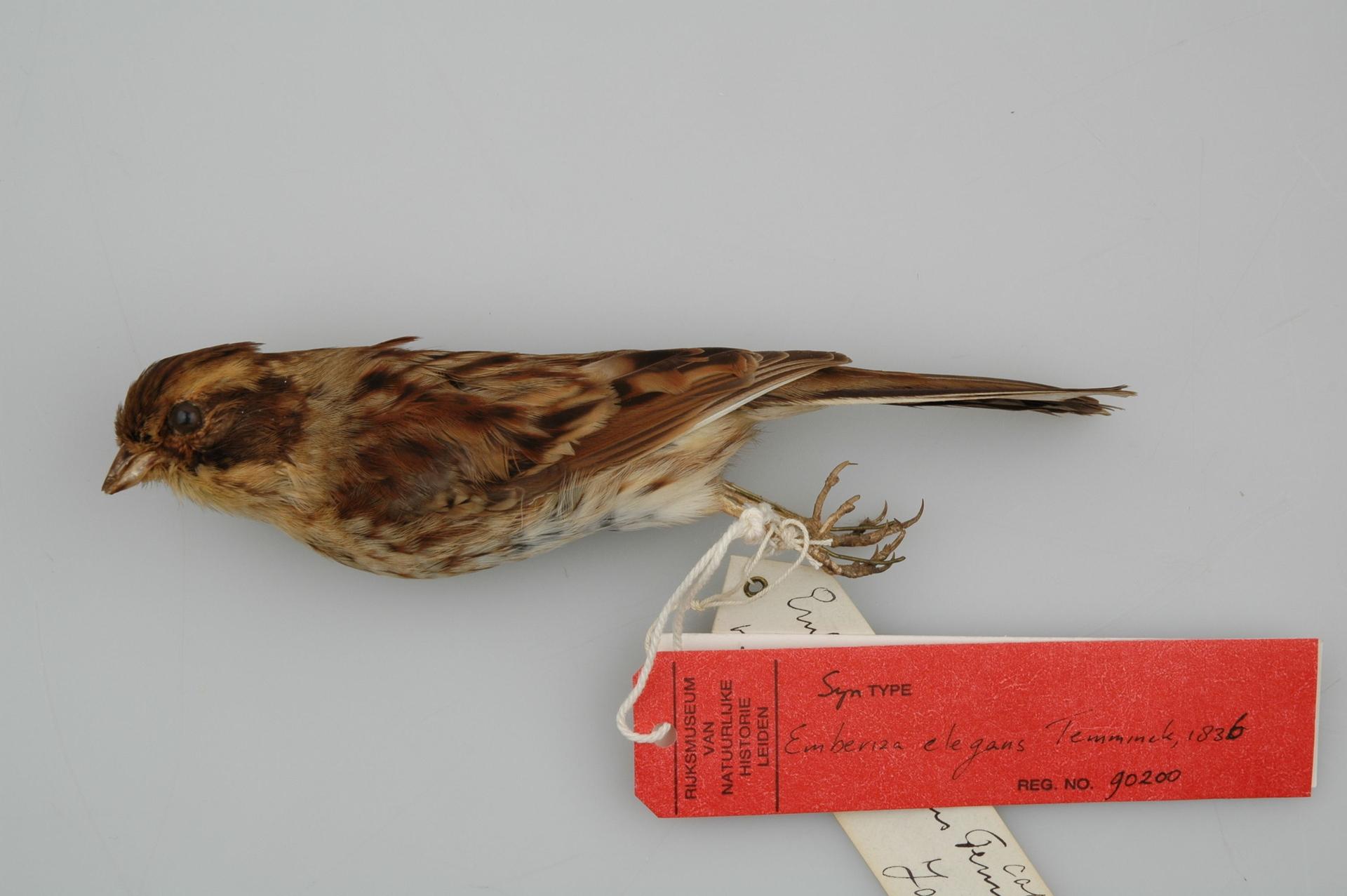 RMNH.AVES.90200   Emberiza elegans Temminck, 1836