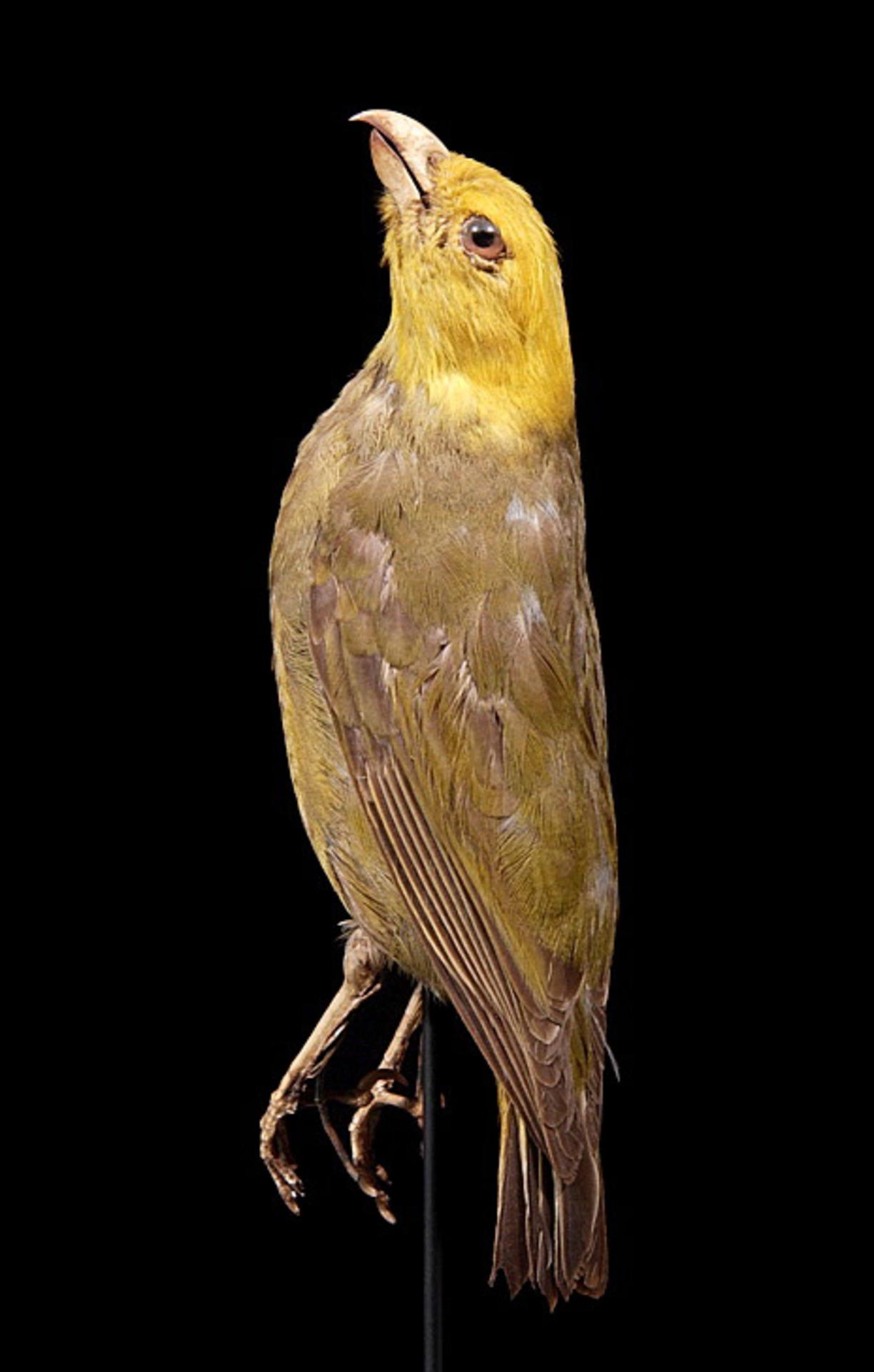 RMNH.AVES.90244   Psittirostra psittacea (Gmelin, 1789)