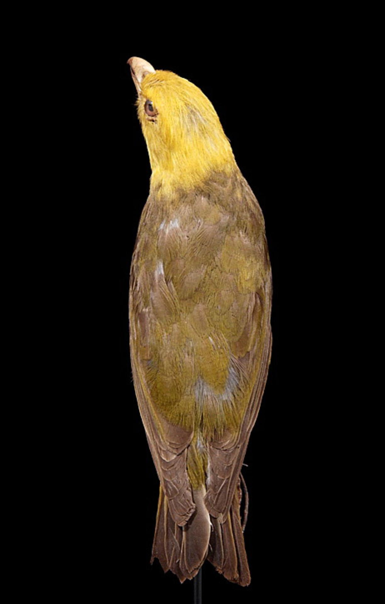 RMNH.AVES.90244 | Psittirostra psittacea (Gmelin, 1789)