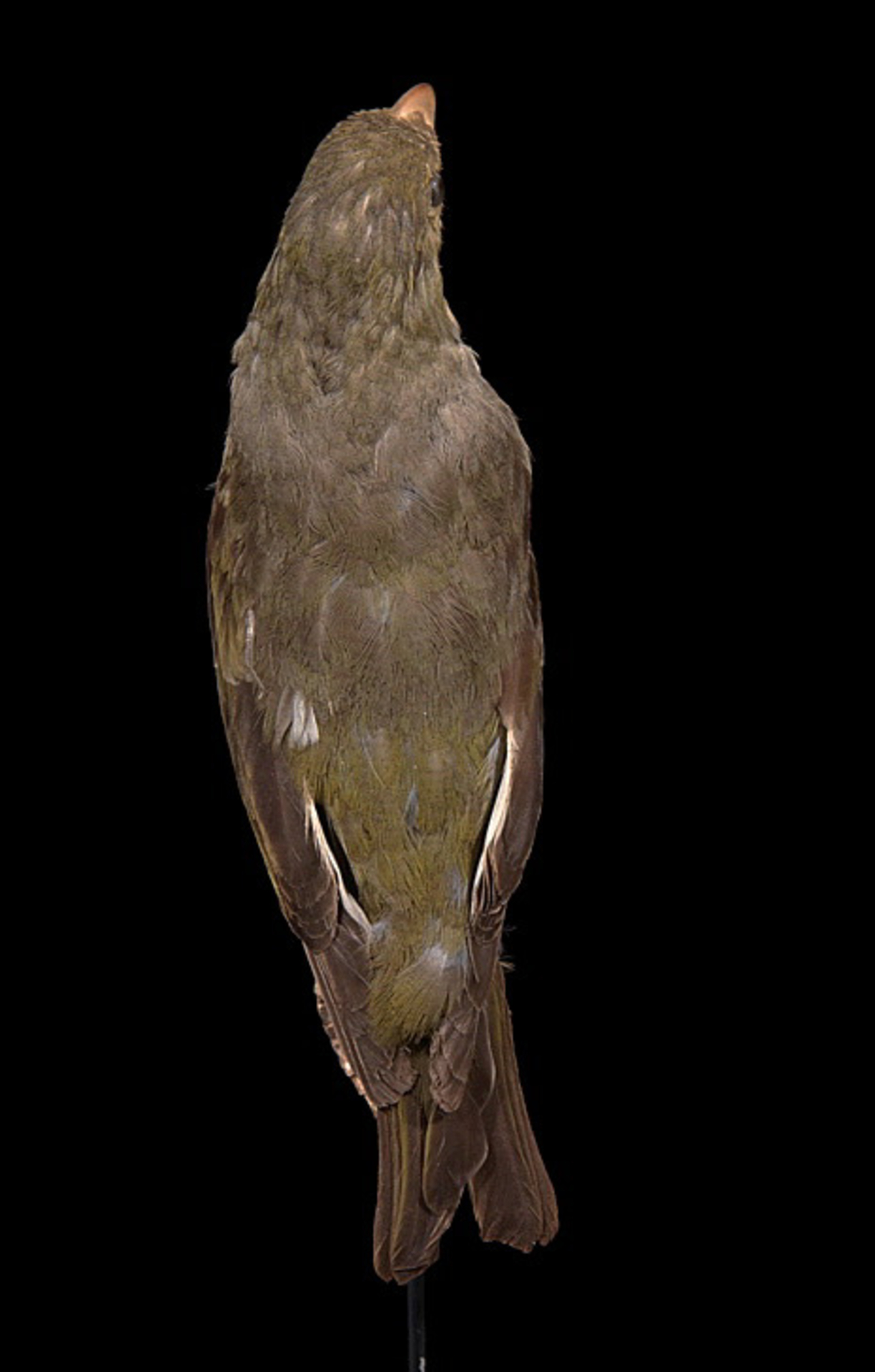 RMNH.AVES.90245 | Psittirostra psittacea (Gmelin, 1789)
