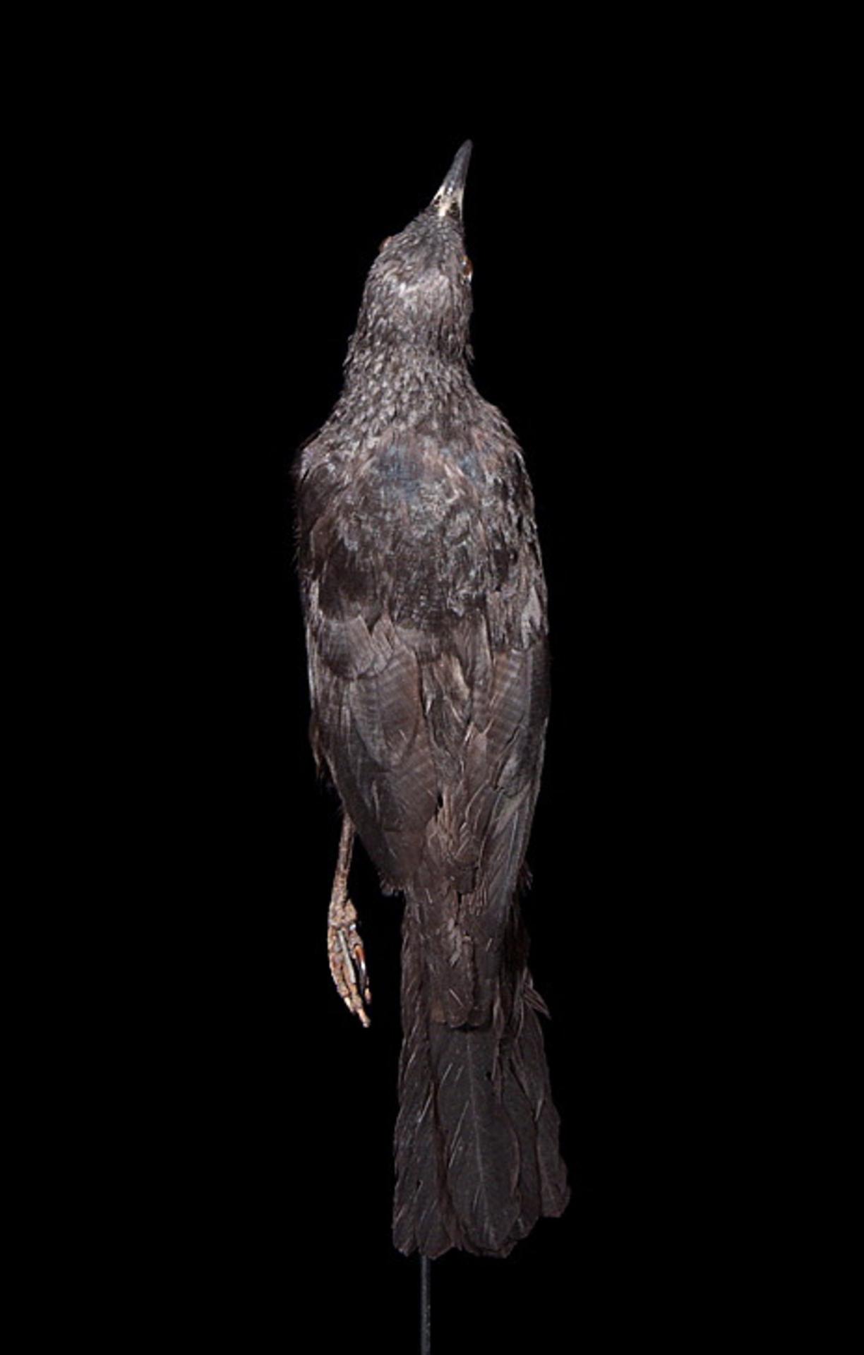 RMNH.AVES.90380 | Aplonis corvina (Kittlitz, 1833)