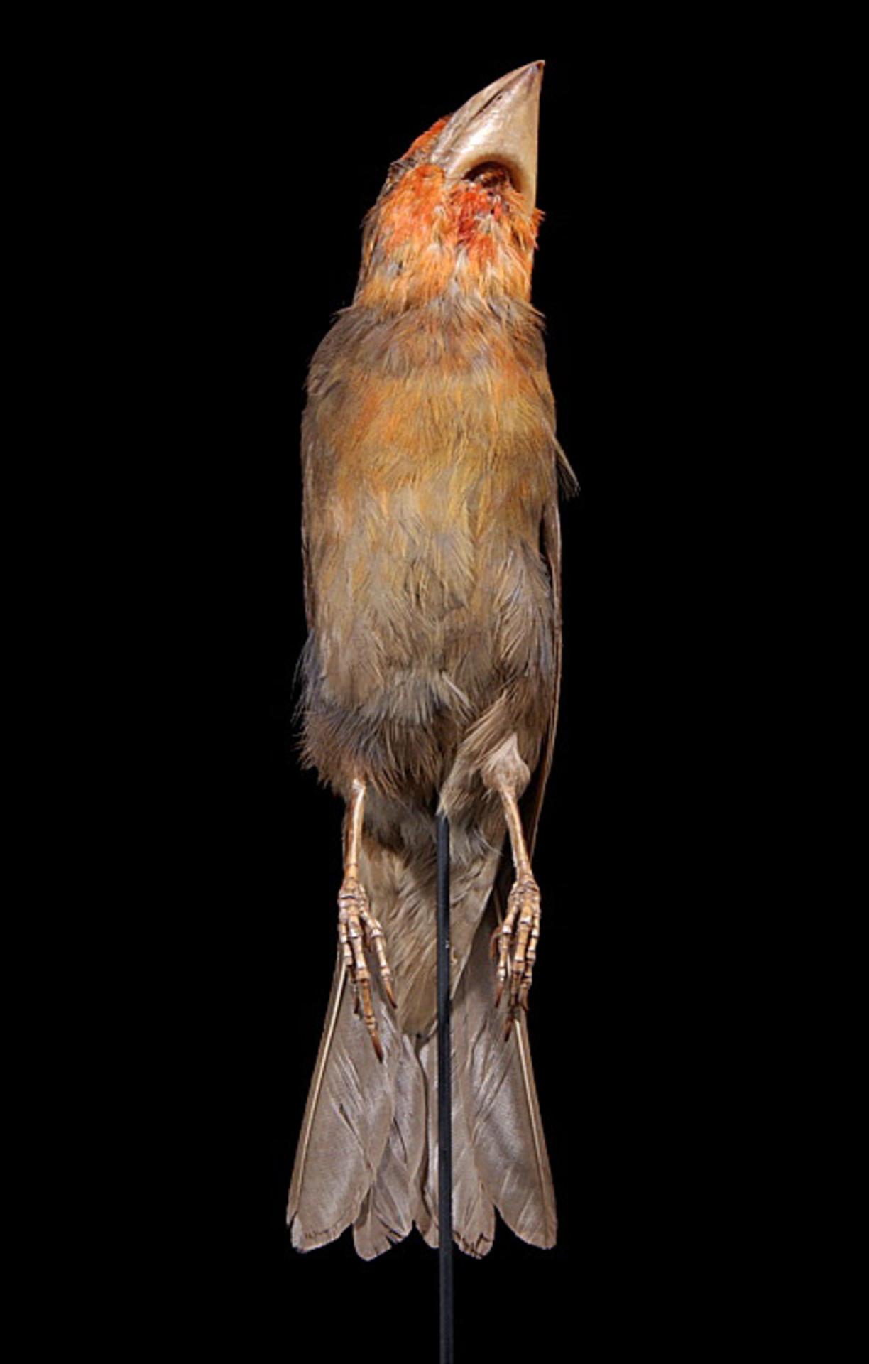 RMNH.AVES.90732 | Chaunoproctus ferreorostris (Vigors, 1829)