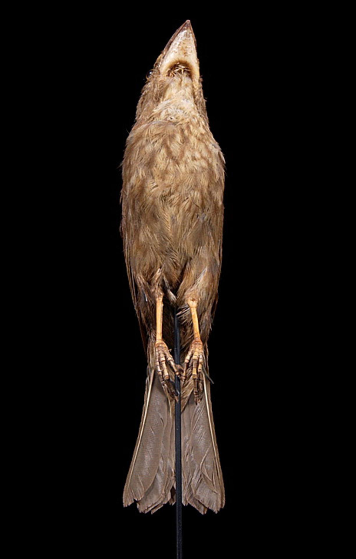 RMNH.AVES.90733 | Chaunoproctus ferreorostris (Vigors, 1829)