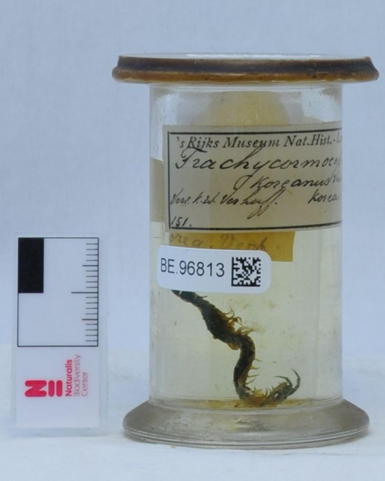 RMNH.CHIL.151   Otostigmus (Otostigmus) koreanus (Verhoeff, 1934)