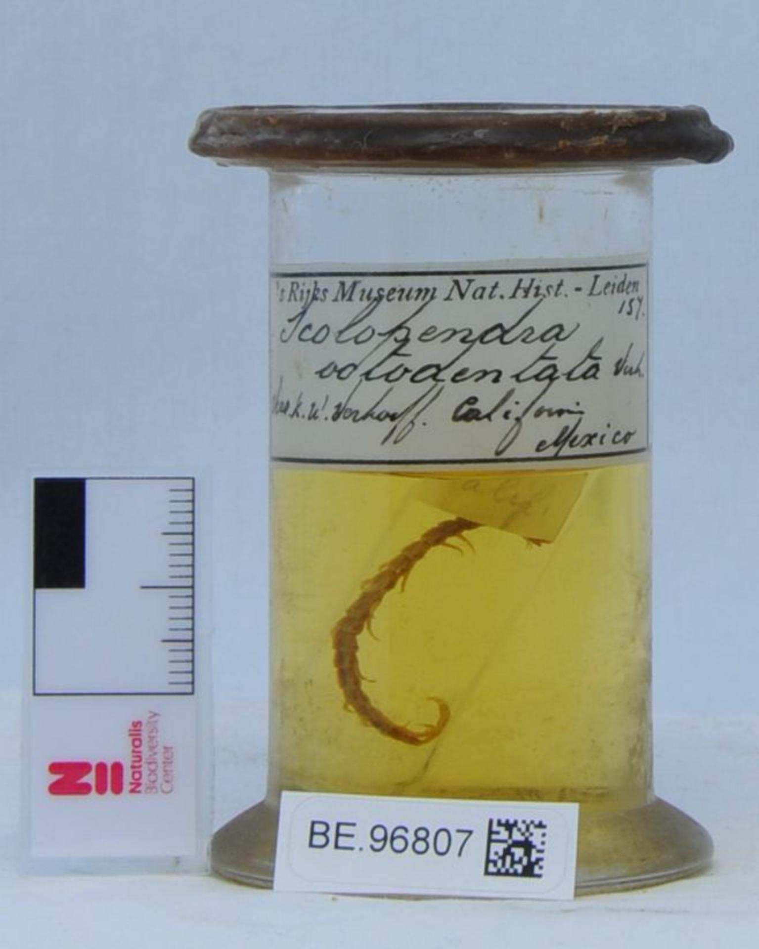 RMNH.CHIL.157 | Arthrorhabdus pygmaeus (Pocock, 1895)