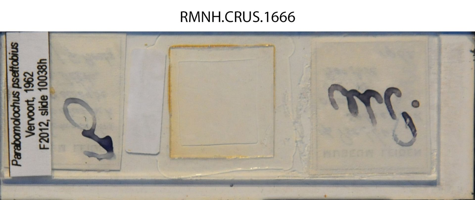 RMNH.CRUS.1666 | Parabomolochus psettobius Vervoort, 1962