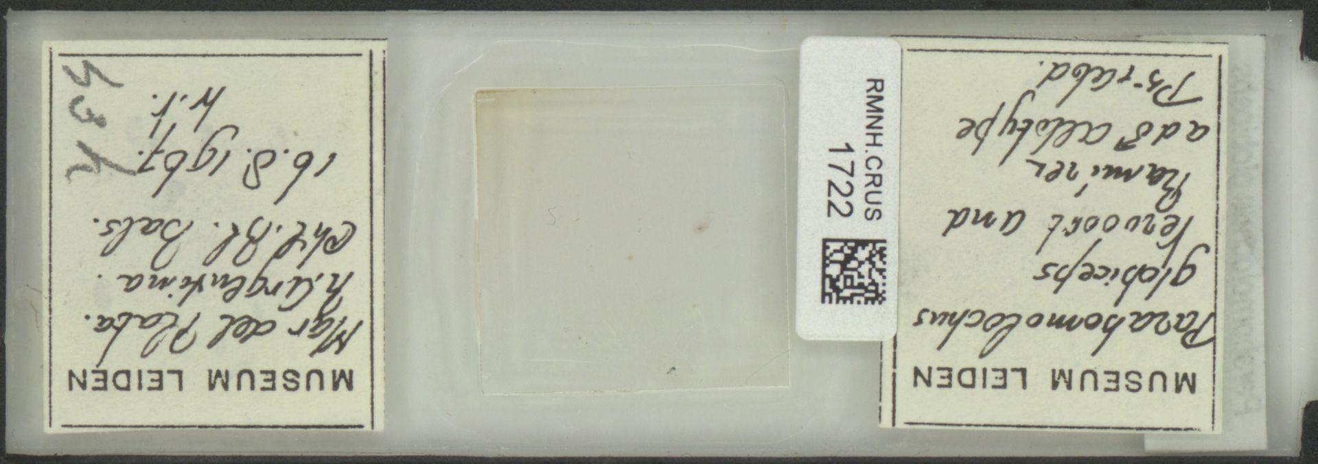 RMNH.CRUS.1722   Parabomolochus globiceps Vervoort & Ramirez 1968