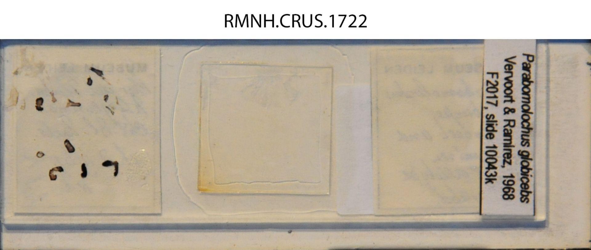 RMNH.CRUS.1722 | Parabomolochus globiceps Vervoort & Ramirez 1968