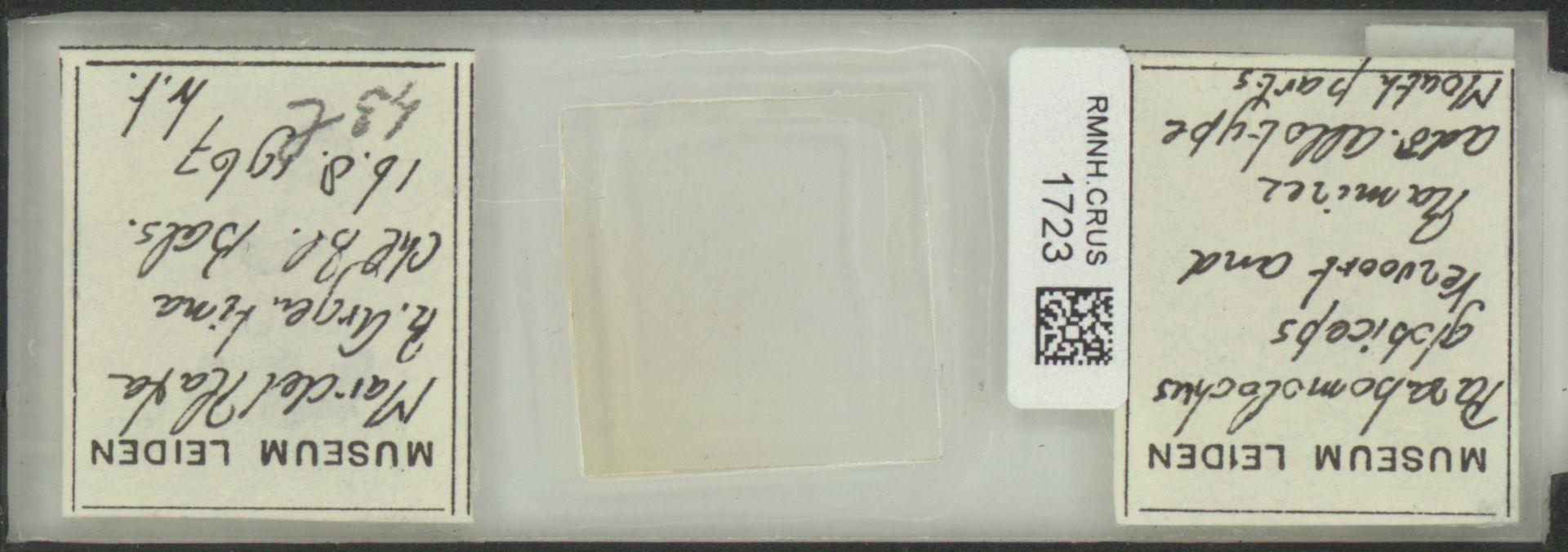 RMNH.CRUS.1723 | Parabomolochus globiceps Vervoort & Ramirez 1968