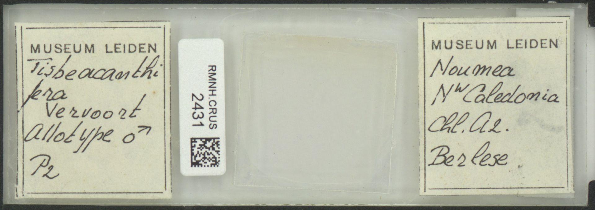 RMNH.CRUS.2431 | Tisbe acanthifera Vervoort, 1962
