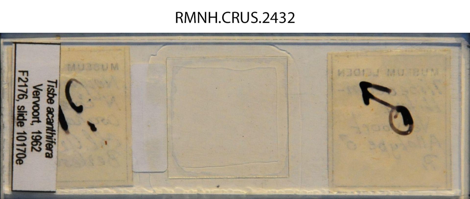 RMNH.CRUS.2432   Tisbe acanthifera Vervoort, 1962