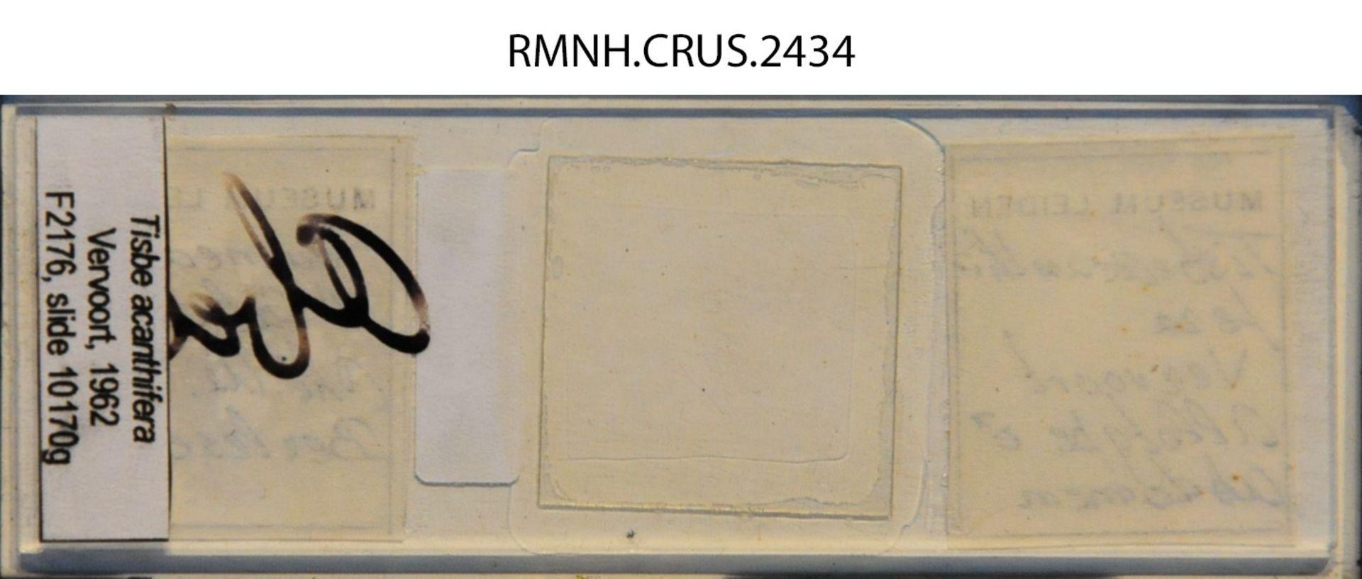 RMNH.CRUS.2434 | Tisbe acanthifera Vervoort, 1962